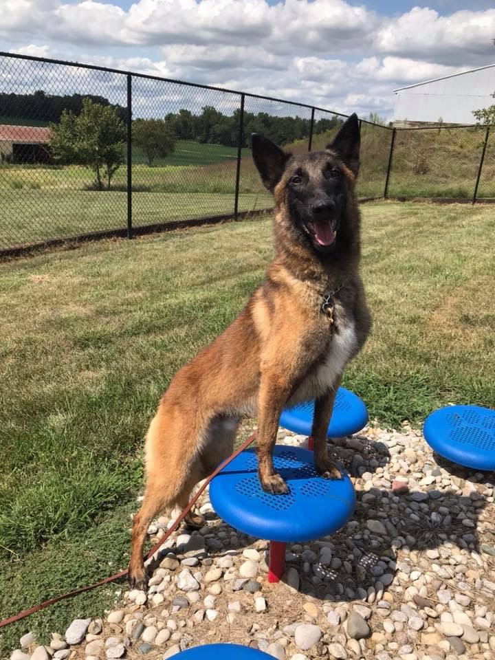 Chaos - Chaos is a 2 year old Belgian Malinois.  Chaos is a loving boy that will flip a switch when needed.  Chaos has started training in bite & detection work, but no odors have been introduced yet.  He is finished in off leash obedience  Give us a call to inquire about this guy!