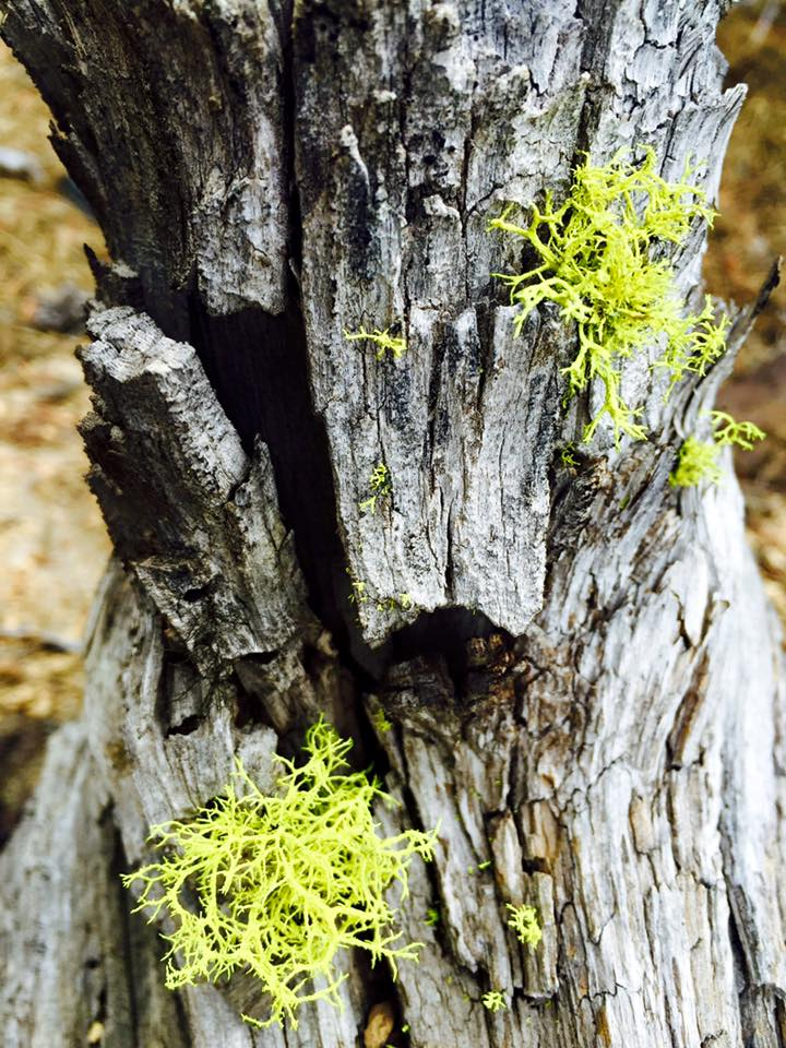 I love lichens and the Wolf Lichens in the Lava Cast forest are so darn cute.