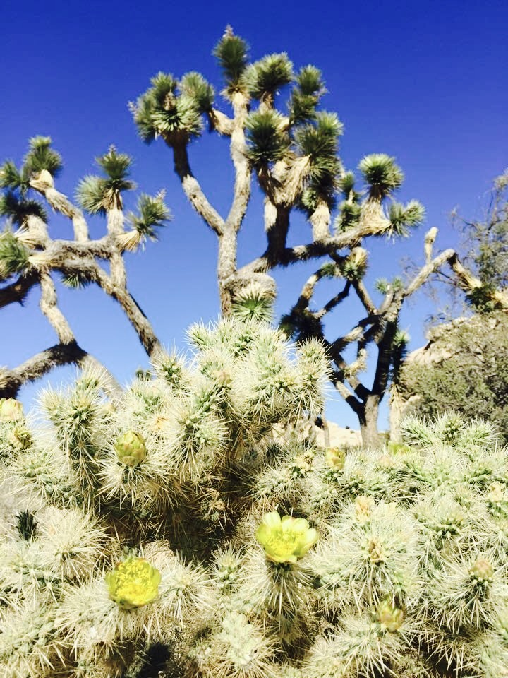 There are of course some lovely Joshua trees on the hike as well.