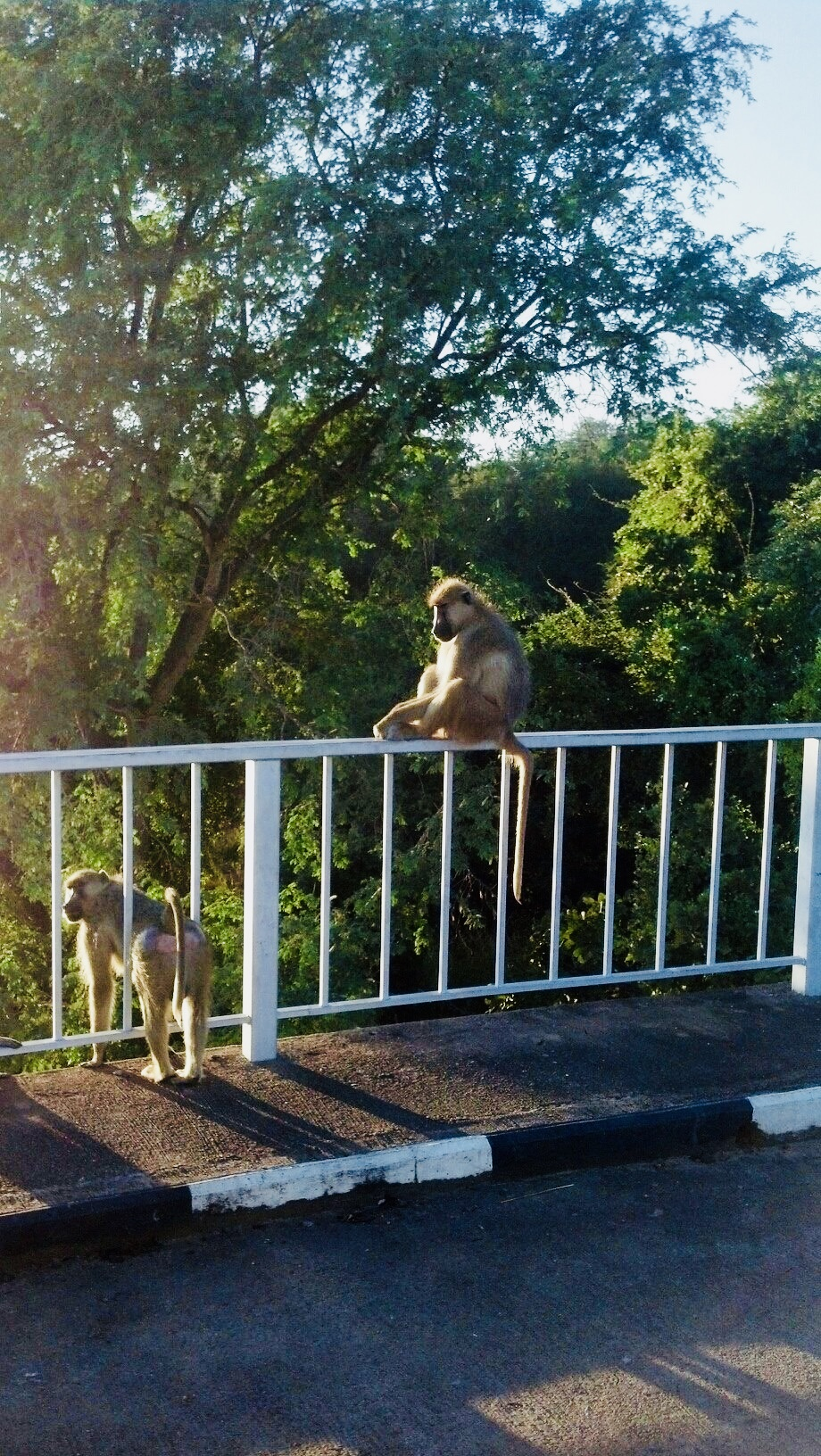 Baboons near the entrance of the park