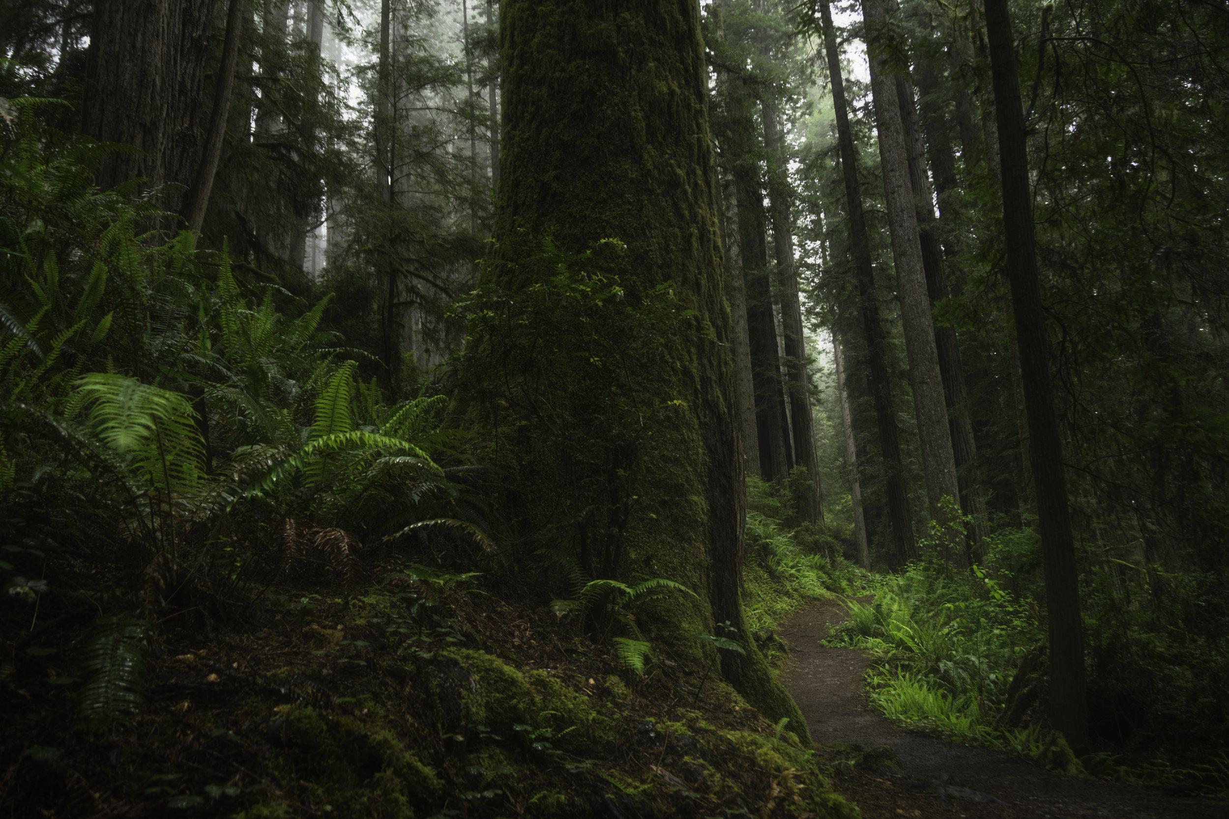 Redwoods Landscape 2.jpg