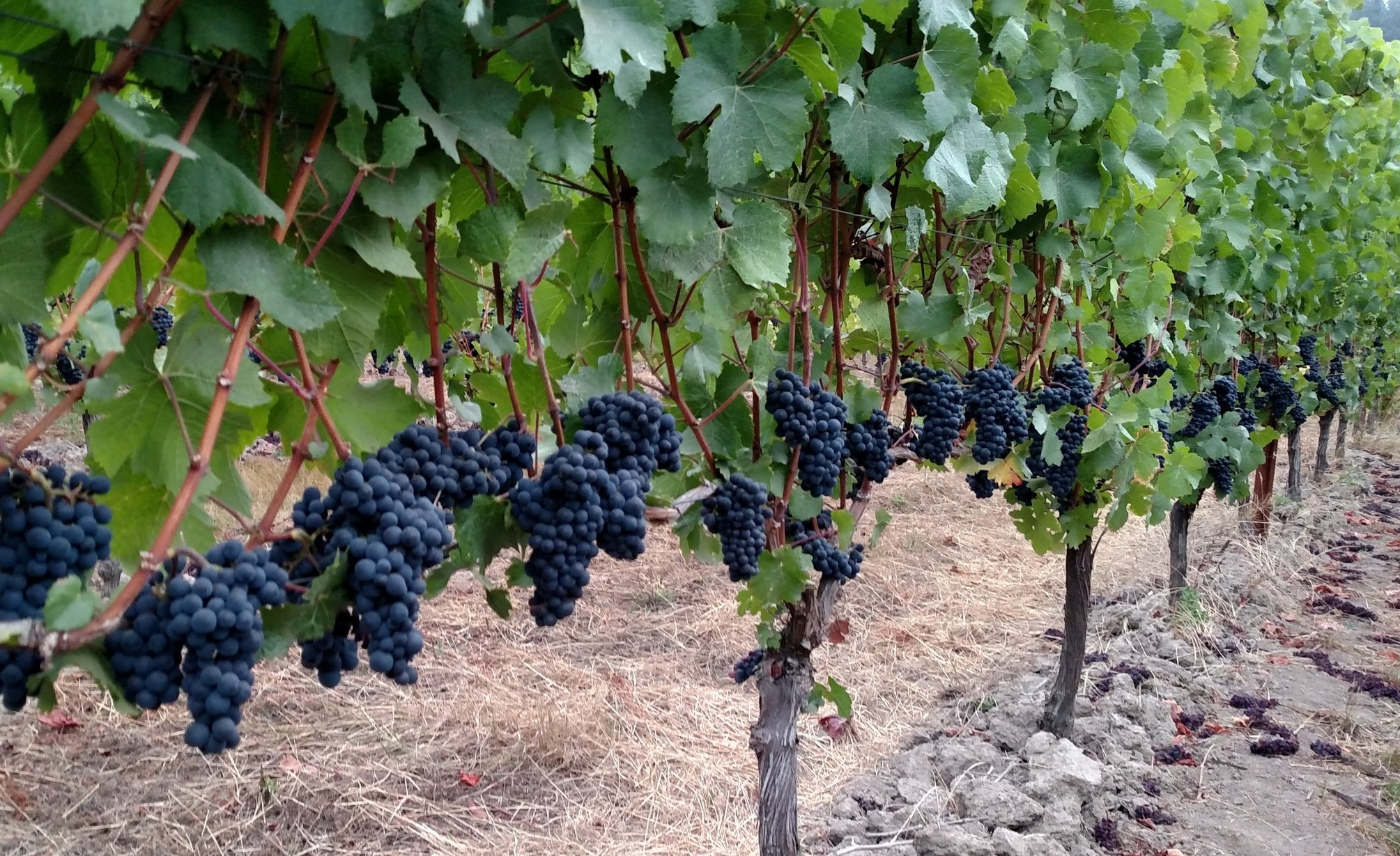 Pinot noir clusters waiting to be picked, Hope Well Vineyard.