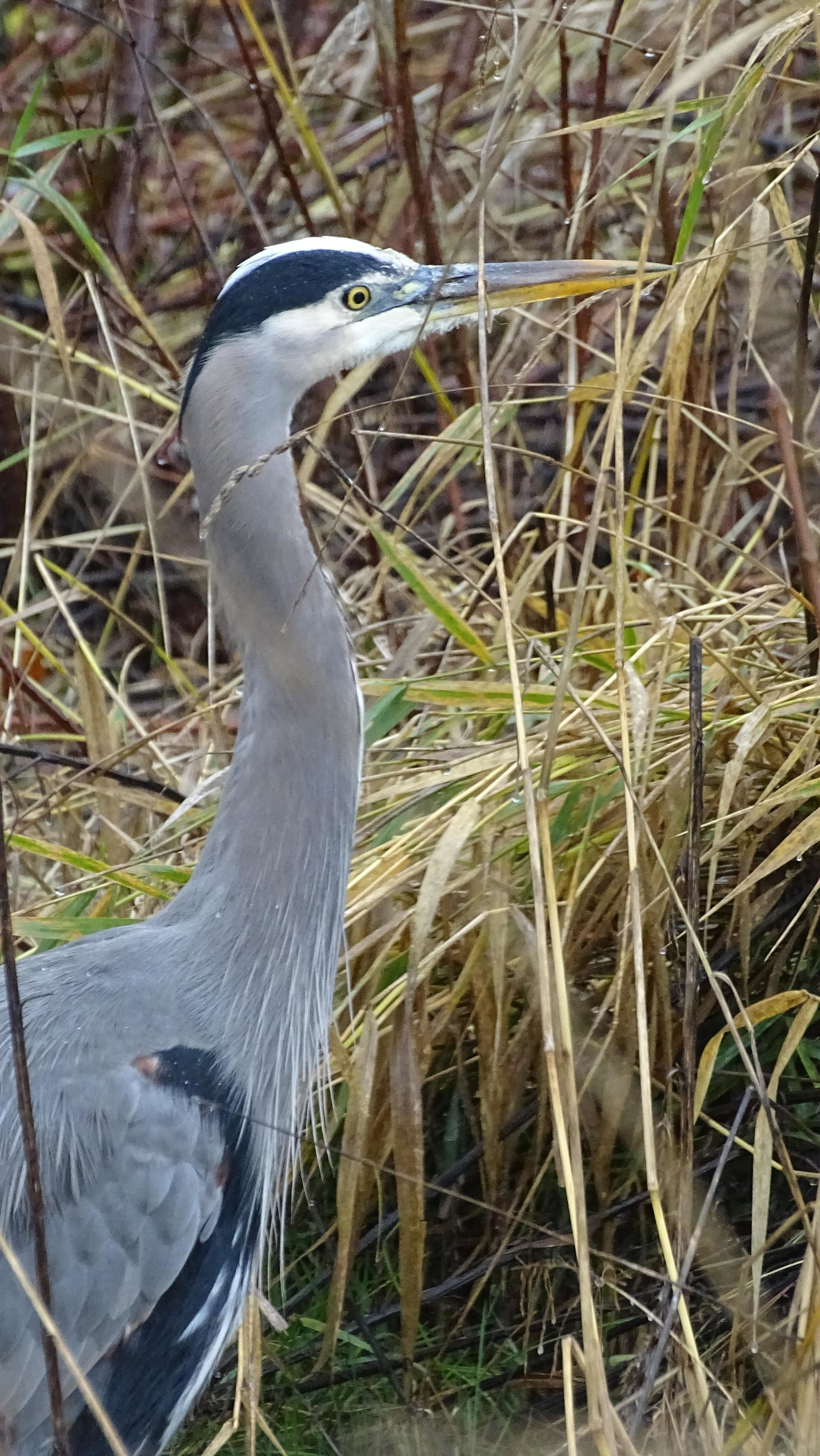A Great Blue Heron at Billy Frank Jr. Nisqually National Wildlife Refuge.