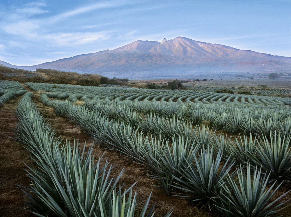 Agave-Fields-Mountain-View.jpg