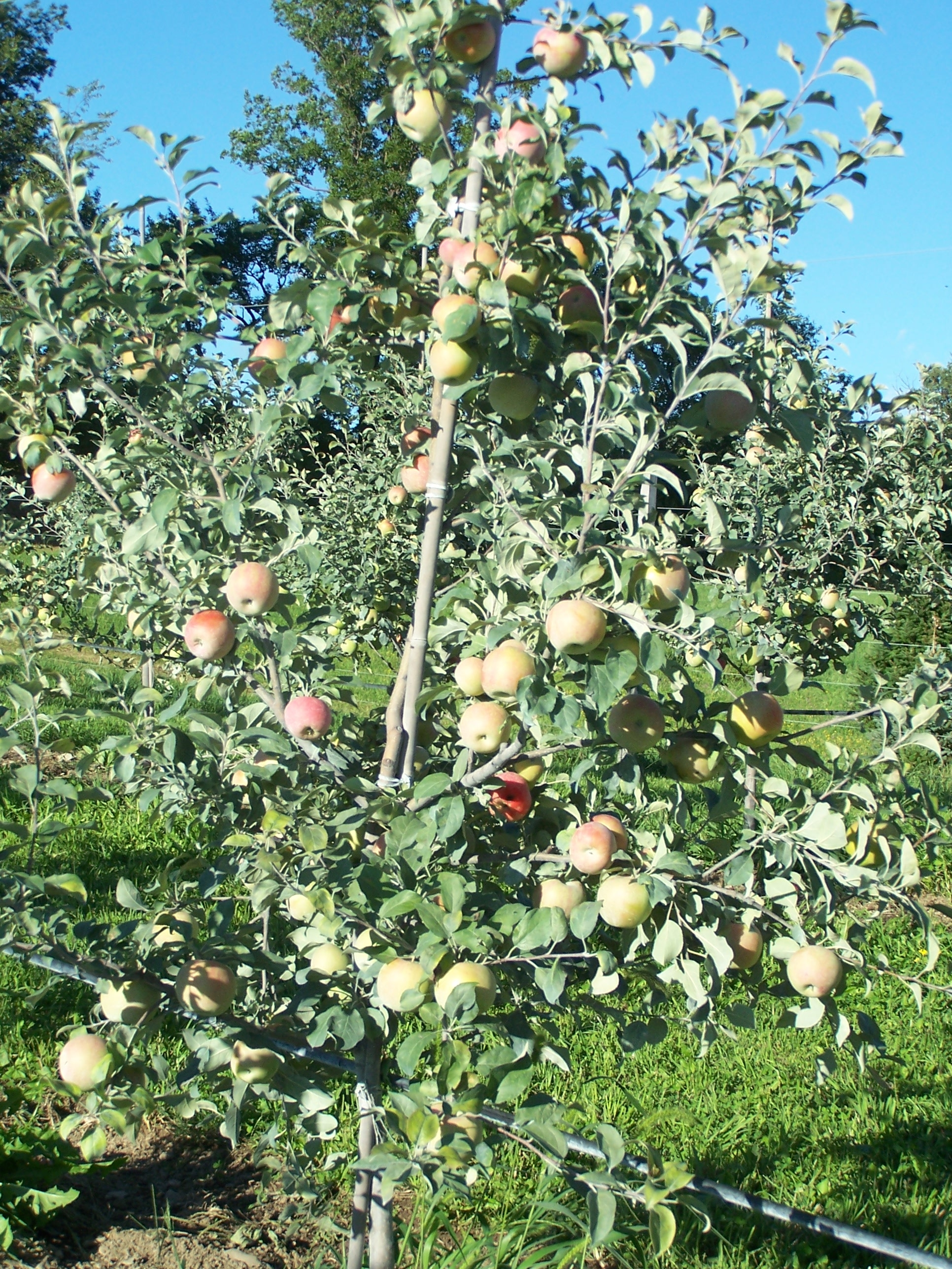 Honey Crisp Tree