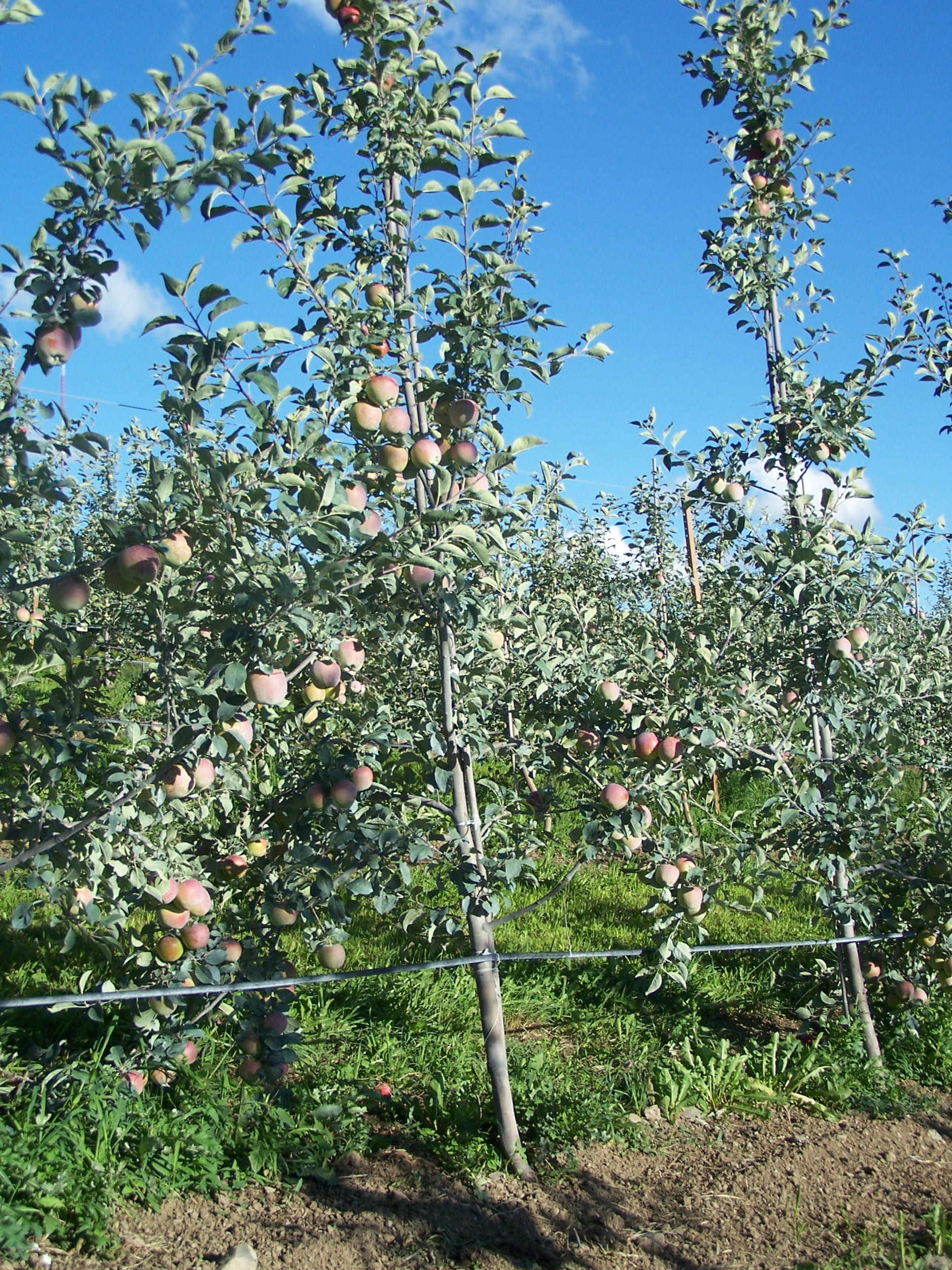 Dayton Apples