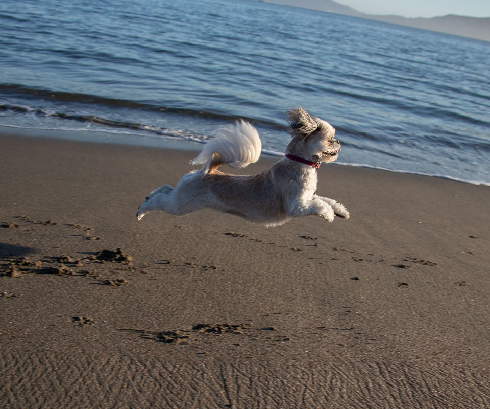 - Jazzy is quite athletic and I got some great action shots of her chasing balls.