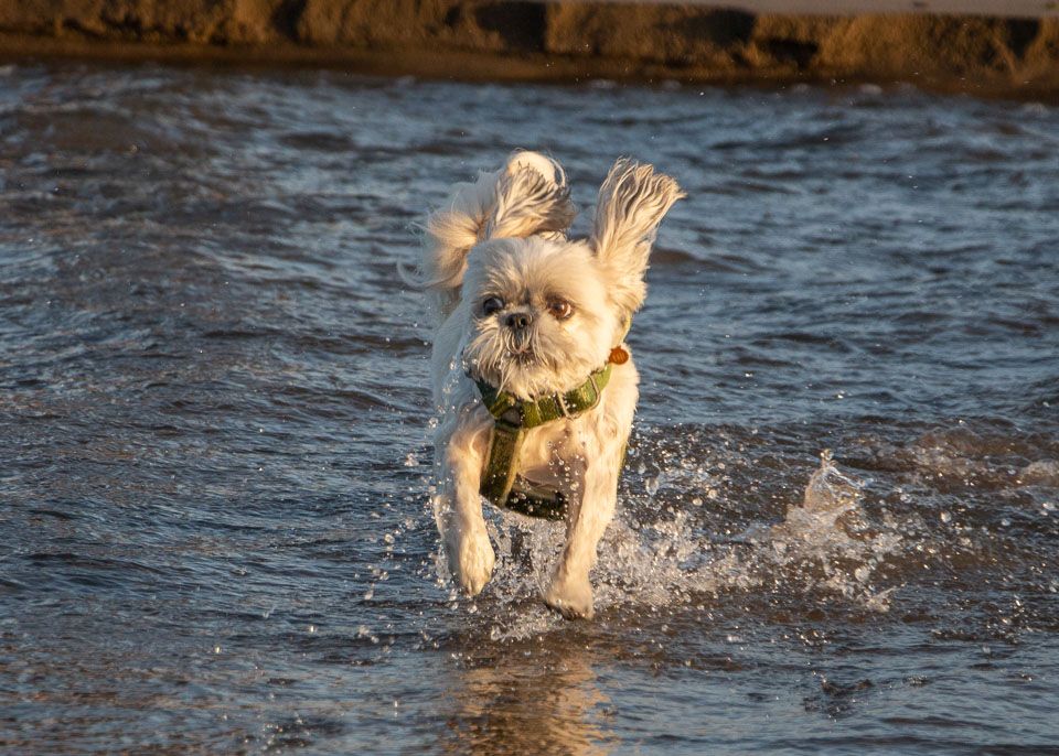 - Jazzy won't go in the water, but Ziggy will run in especially through the shallow inlets. Ziggy loves to go in the water especially the shallow inlets.