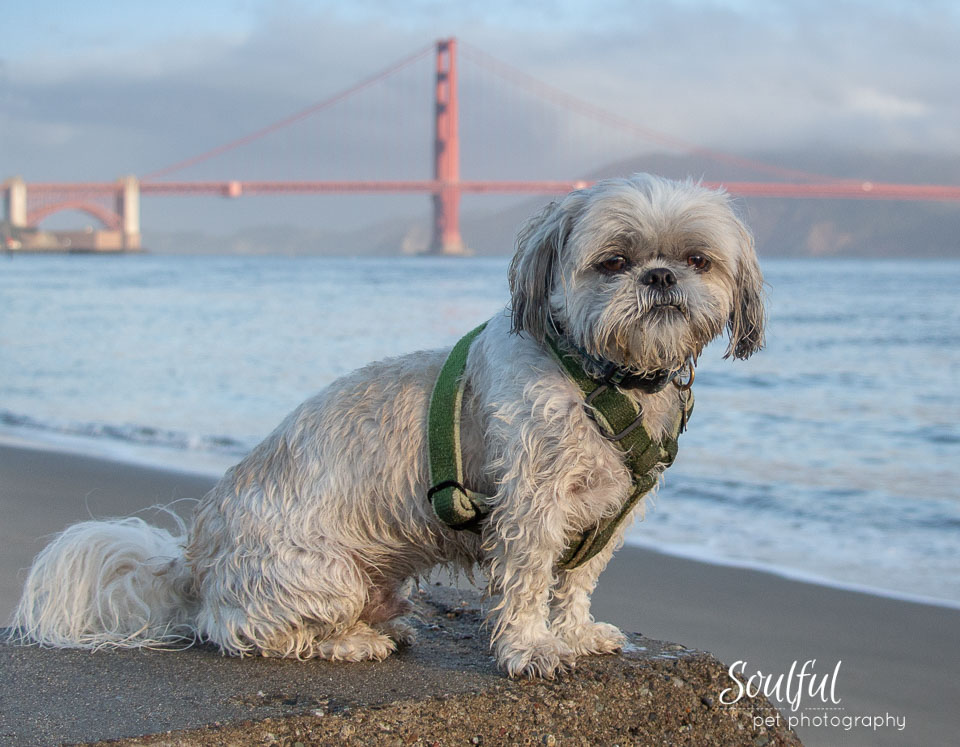 - This is a great opportunity to get your dog photographed with an iconic Bay Area structure in the background, like the Golden Gate Bridge or the Palace of Fine Arts.