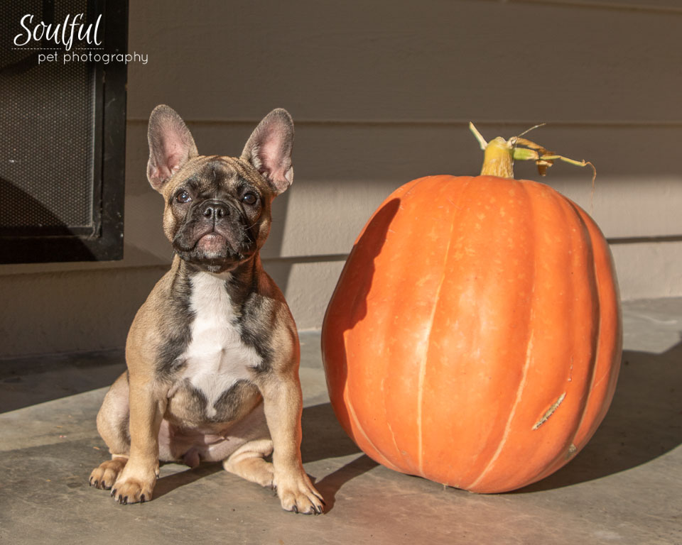- It being Fall, there was a beautiful pumpkin decorating the front porch and I just had to get a photo of Daisy posing next to it! #SoCuteItHurts