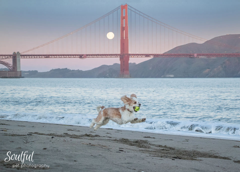 - As the sun came up brightening the sky and the moon moved lower behind the bridge, I had Ginger run across the beach.