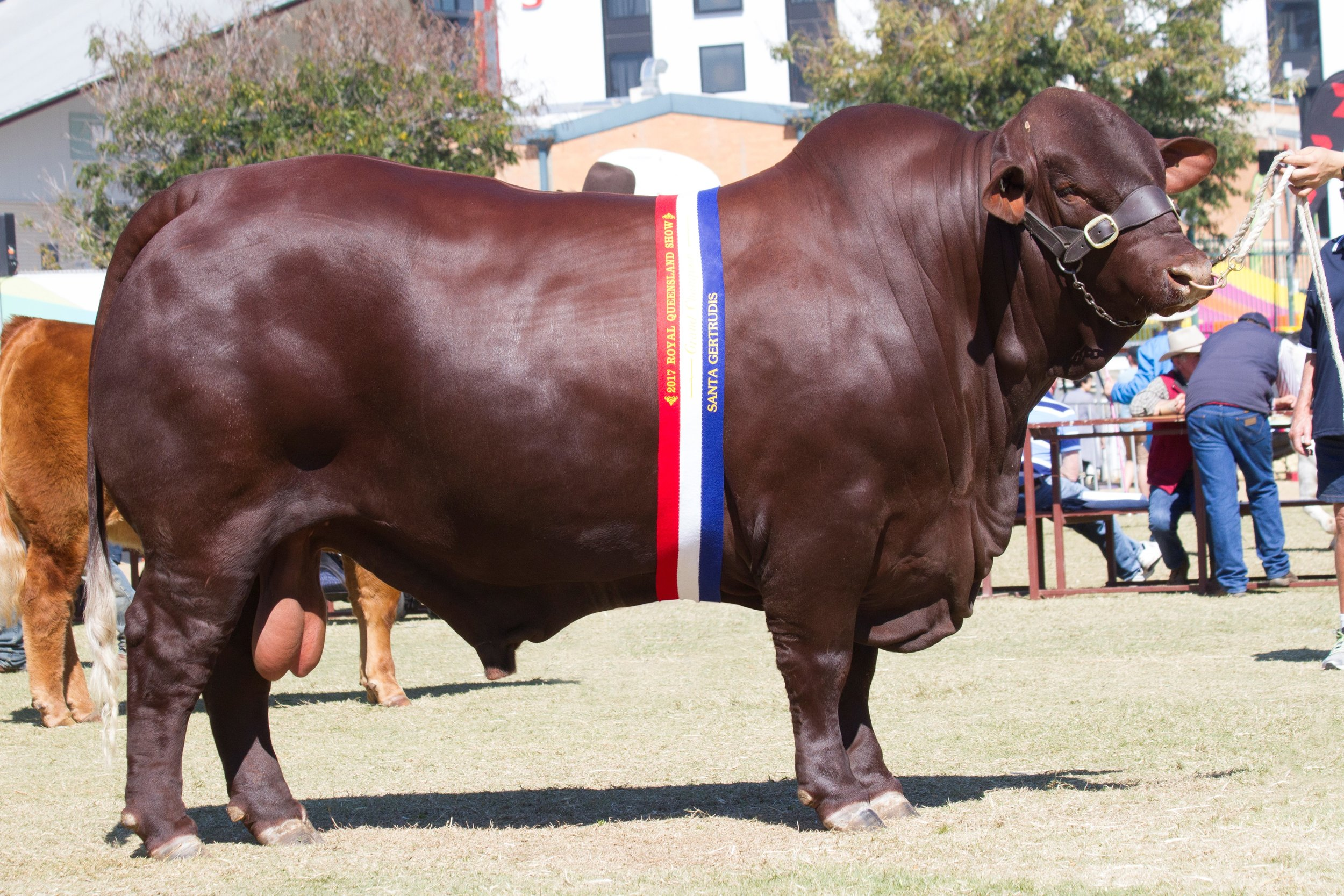 Yarrawonga FIxer L664 (P)- Interbreed Champion of Champions, Senior and Grand Champion Bull.