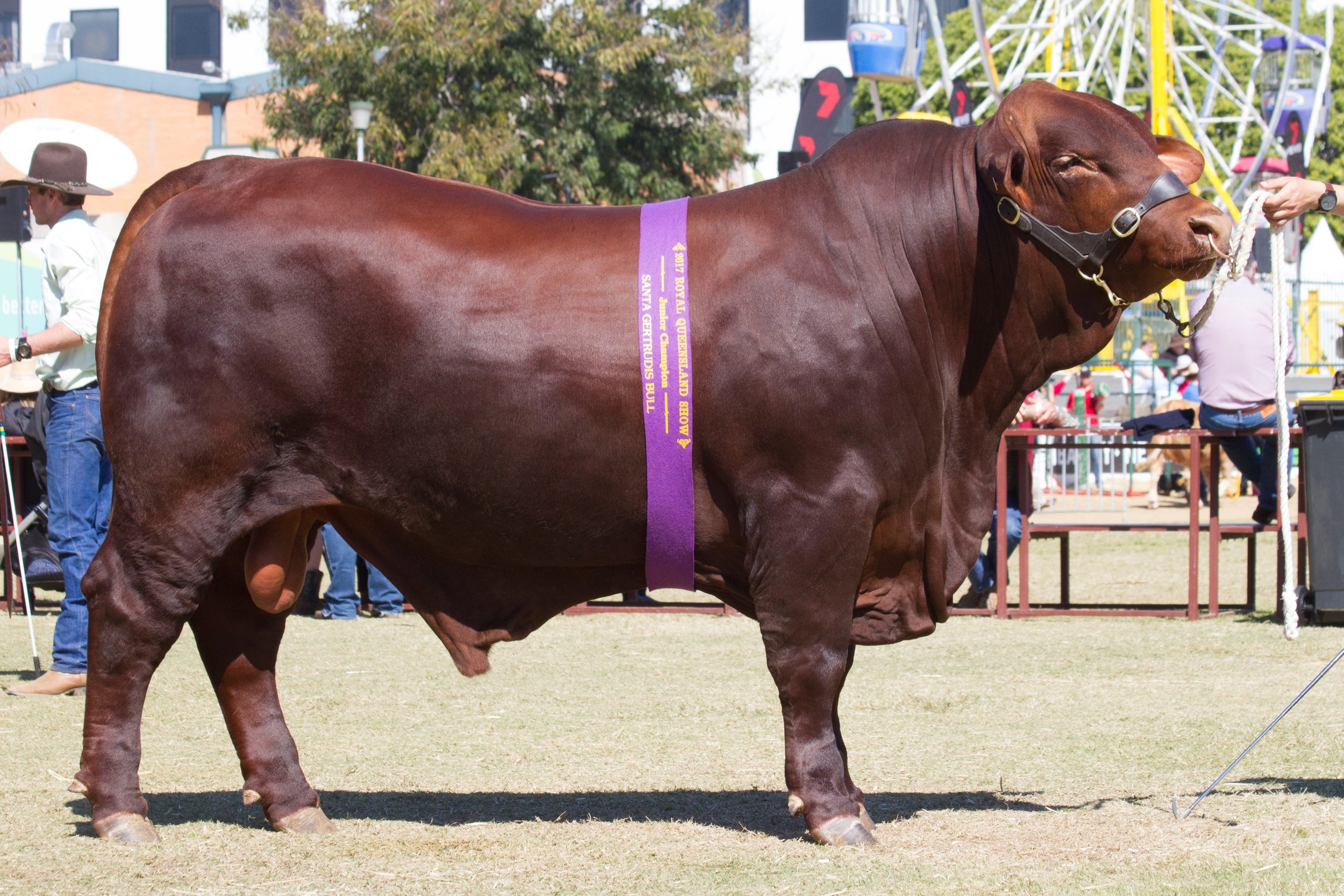 Yarrawonga Gamer M518 (P)- Junior Champion Bull.
