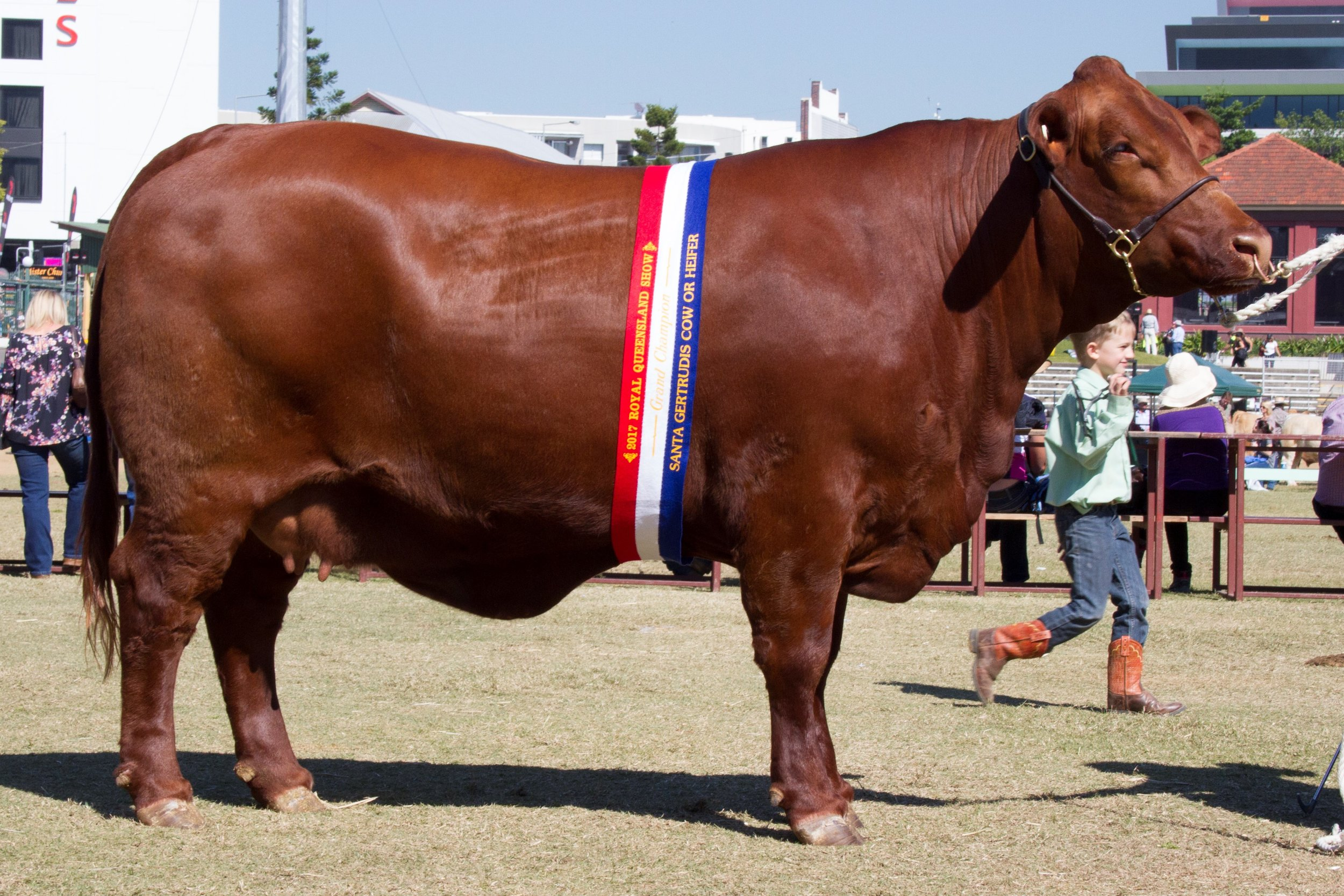 Yarrawonga Escort K425- Grand and Senior Champion Cow.