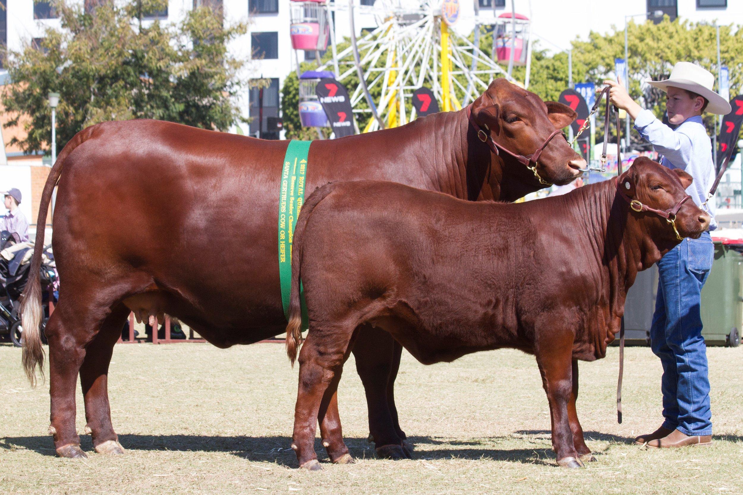 Reserve Senior Champion Cow Waco Frankie with calf Waco Nancy.