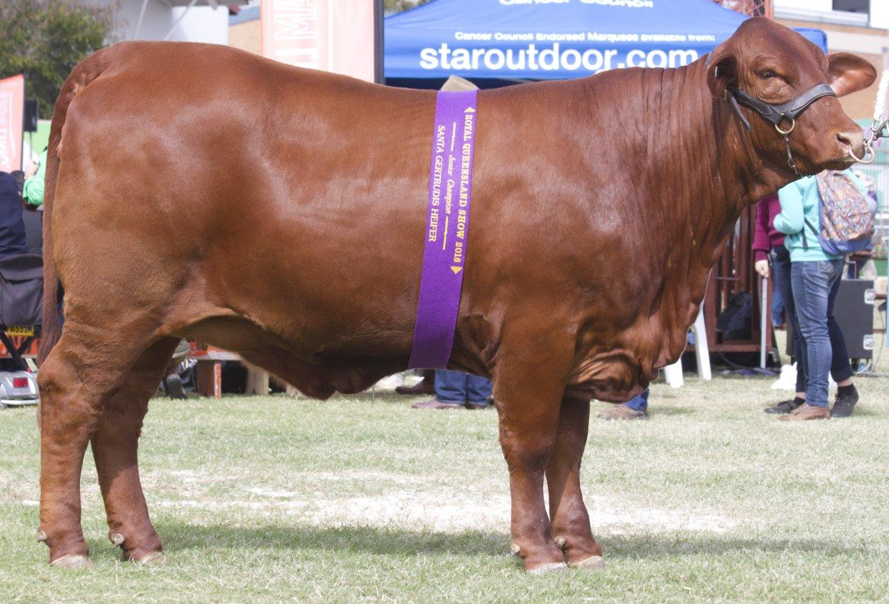 Junior Champion Heifer- Yarrawonga Feather L661 (P)
