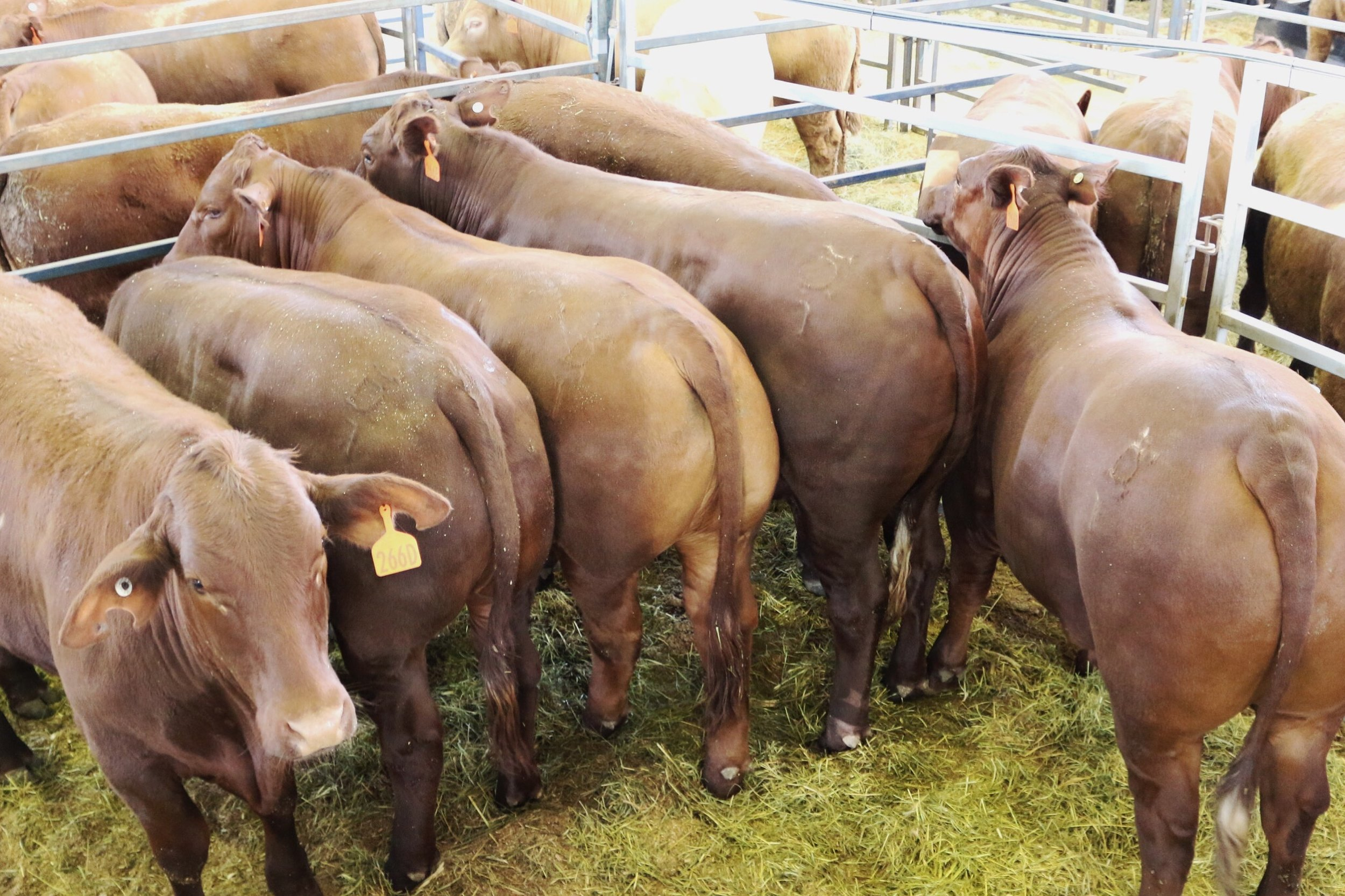RNA Competition Results for Prime Beef presented by Queensland Country Life    1st High Point Achiever Award for Stud, Hoof and Hook    1st and 2nd Pen of Six Pasture Fed Steers Jap Ox Carcase Class    1st Pen of Six Grain or Pasture Fed Steers 400-520 kg    2nd Pen of Six Grain or Pasture Fed Steers 521-600 kg    Champion Single Steer