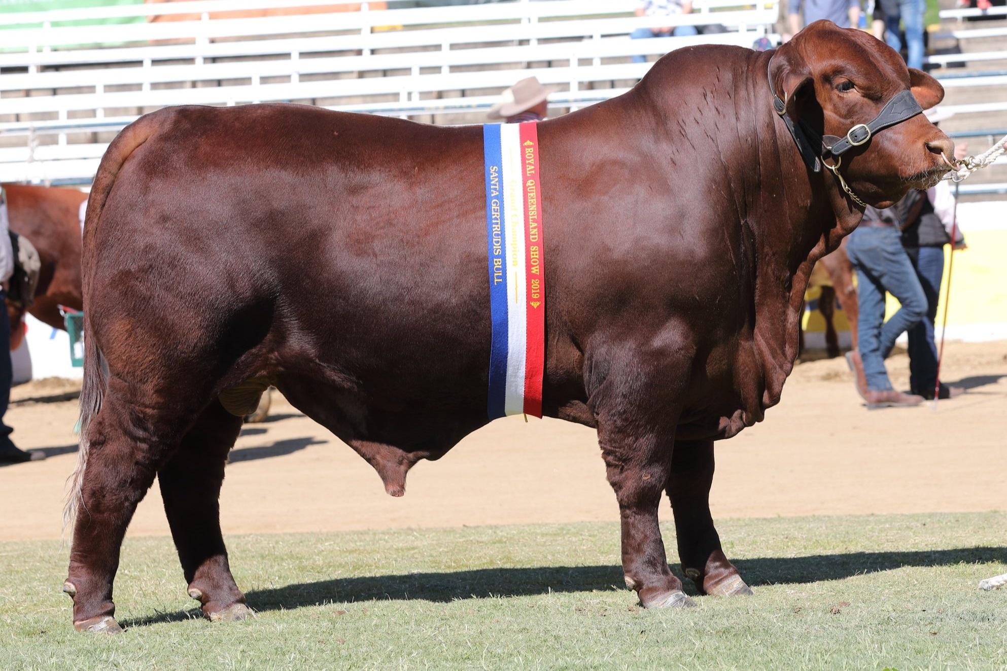 2019 Ekka Junior and Grand Champion Bull, Yarrawonga Invictus (P)
