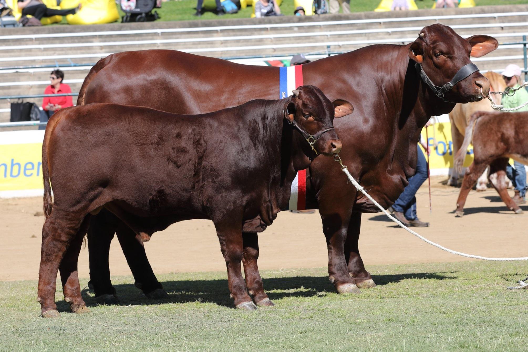 2019 Ekka Senior and Grand Champion Cow, Yarrawonga Gigi