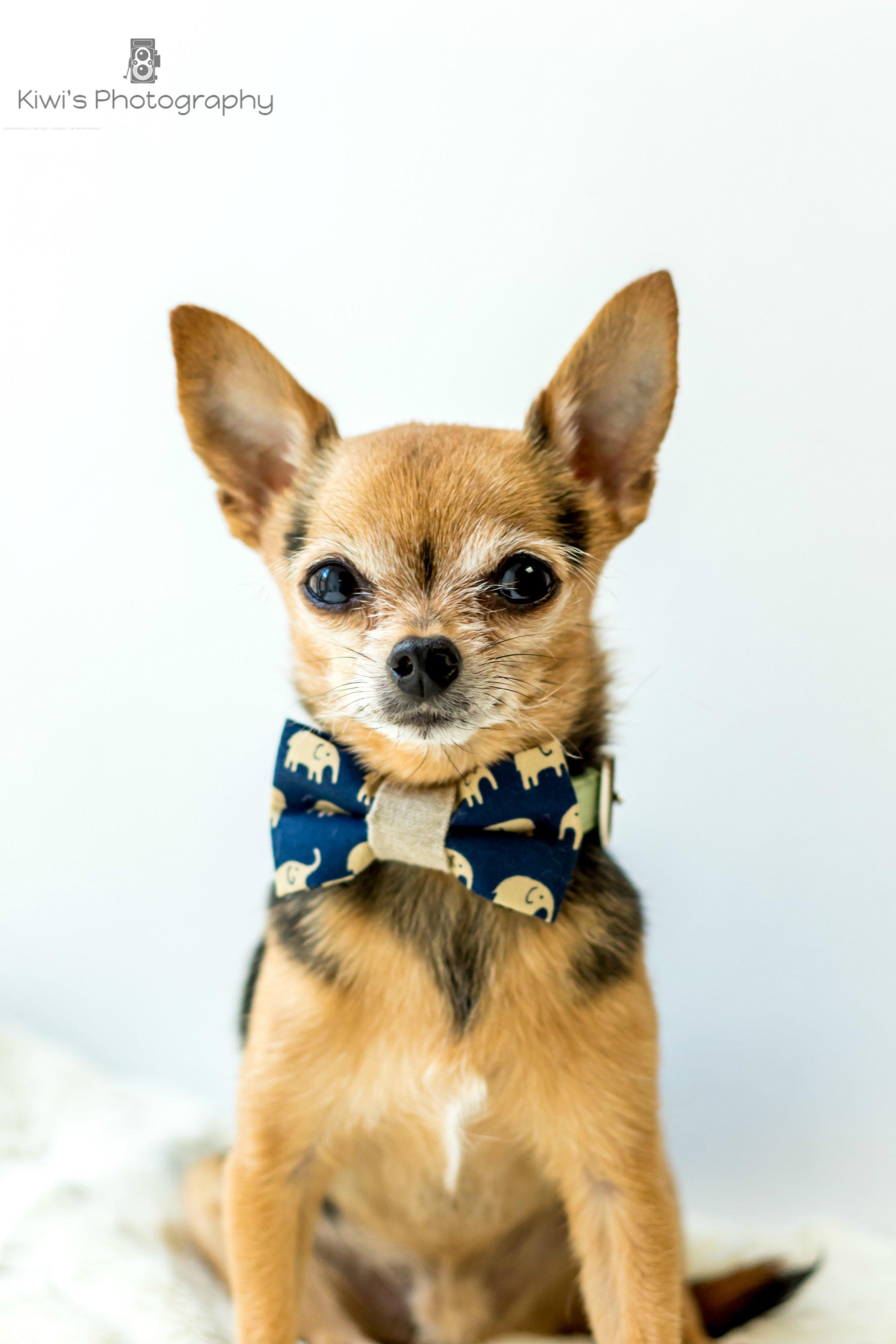 Benji the Chorkie, Dog Bow Tie from Cricket and Company, Ottawa