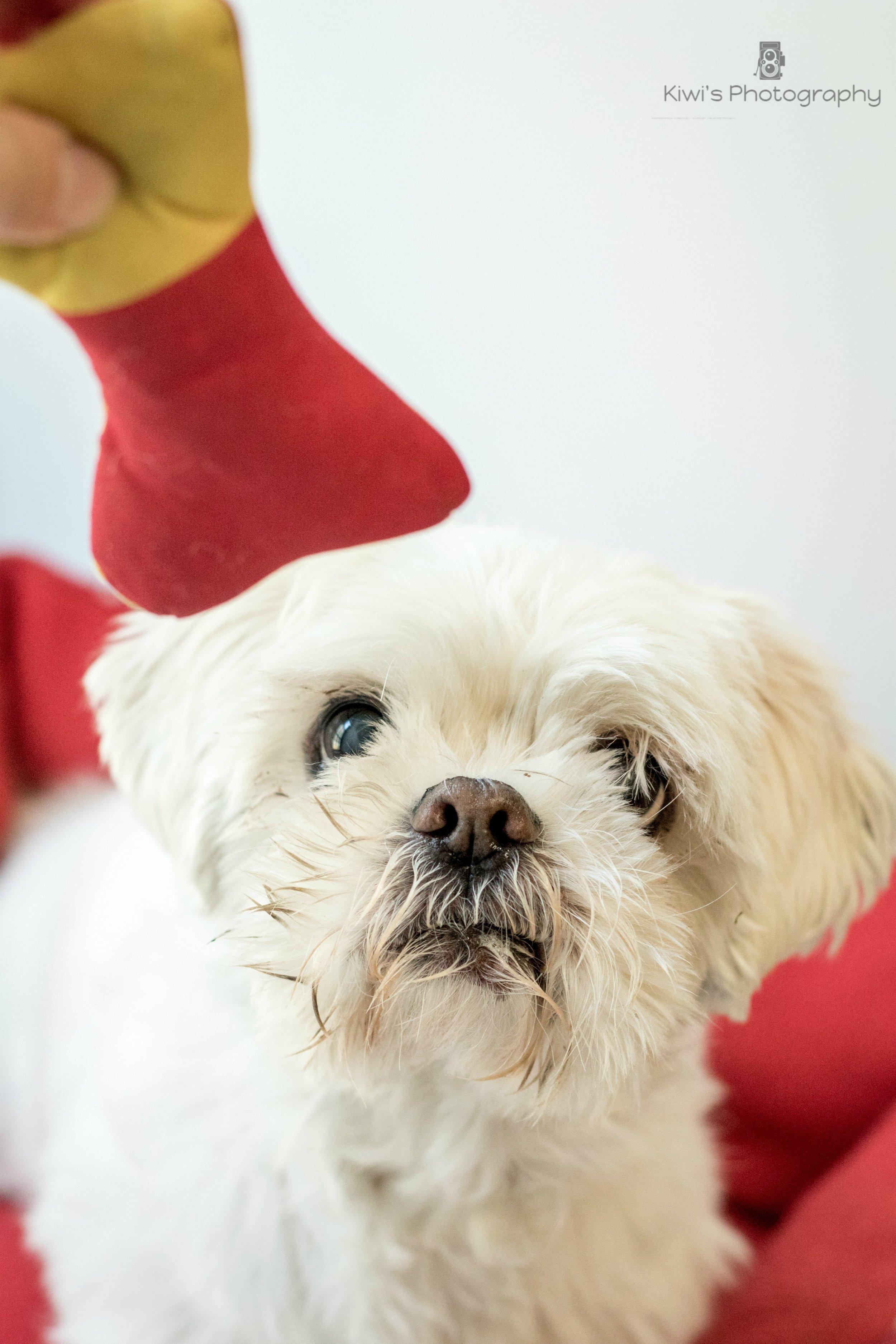 Freedom Dog Rescue - Foster Dog Leica (Shitzu)