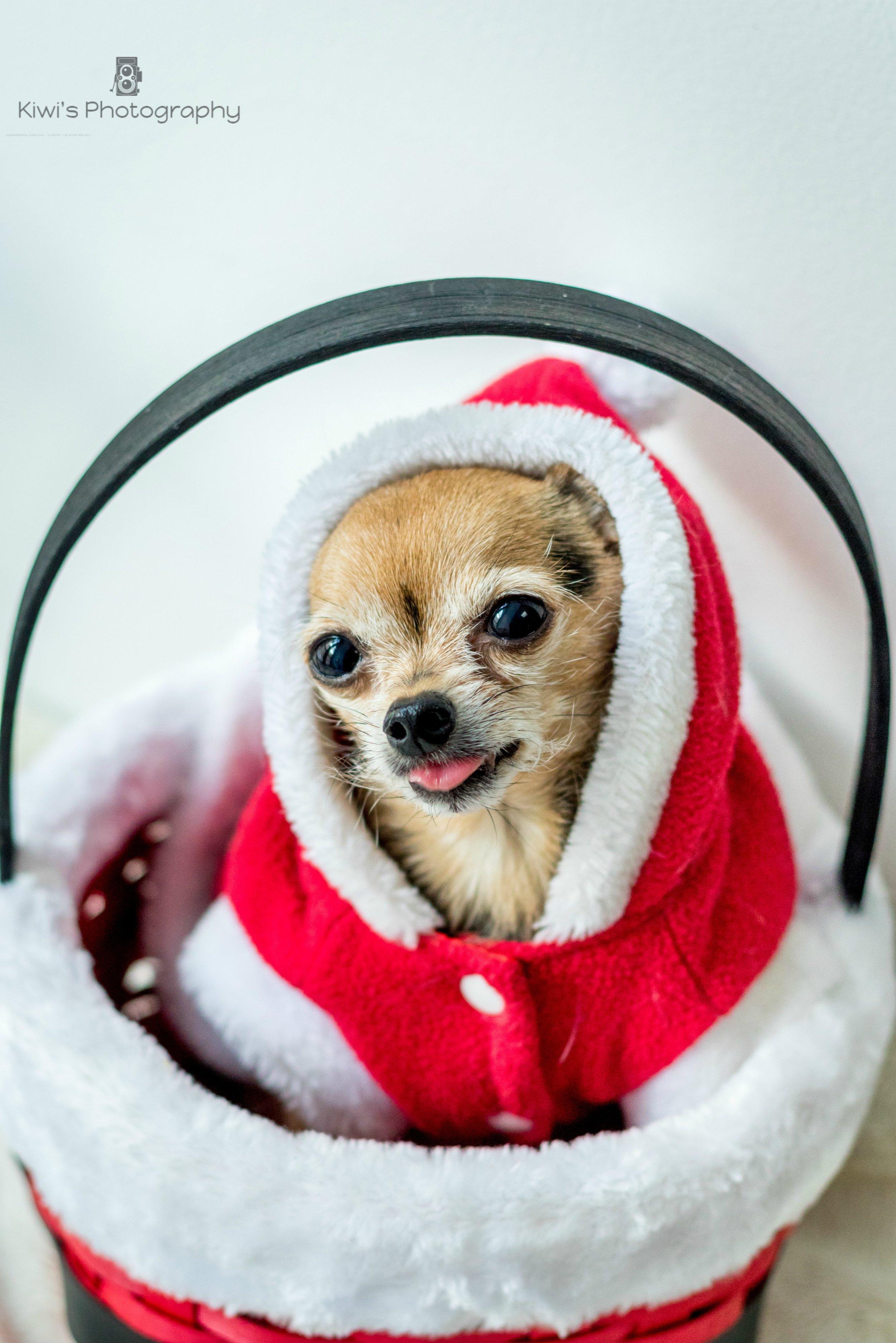 Chihuahua yorkie mix, Christmas costume dog, chorkie in Ottawa