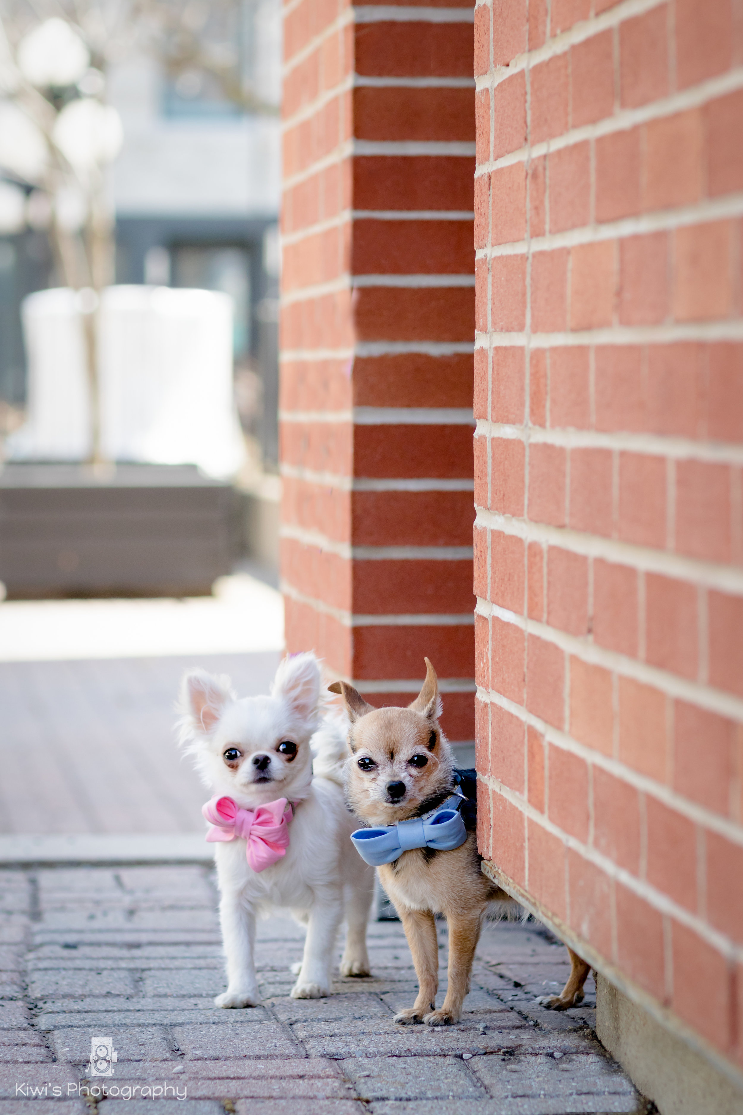 Chihuahuas in the Byward Market, Ottawa