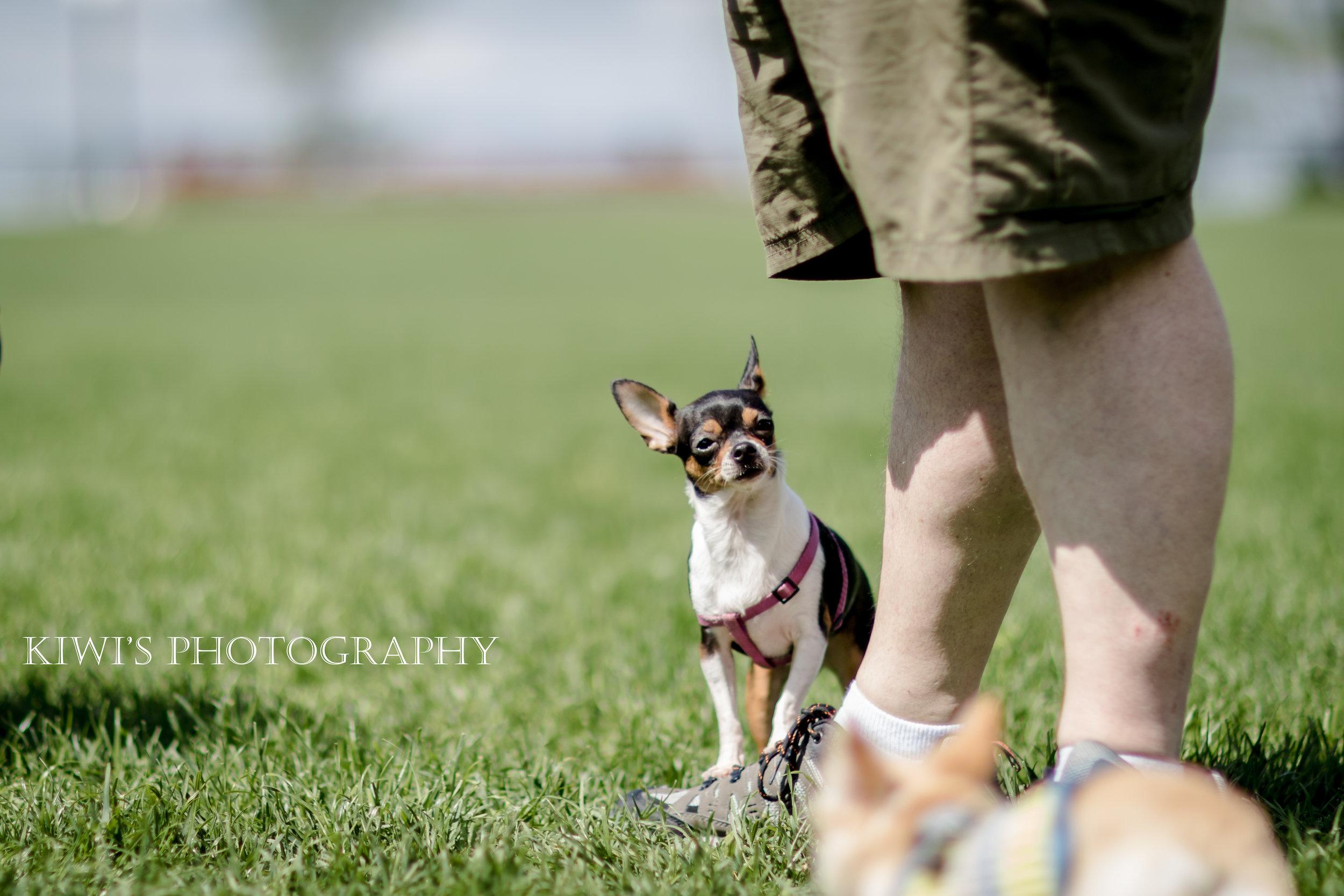 Ottawa Small Breed Meetup - Abby the Chihuahua