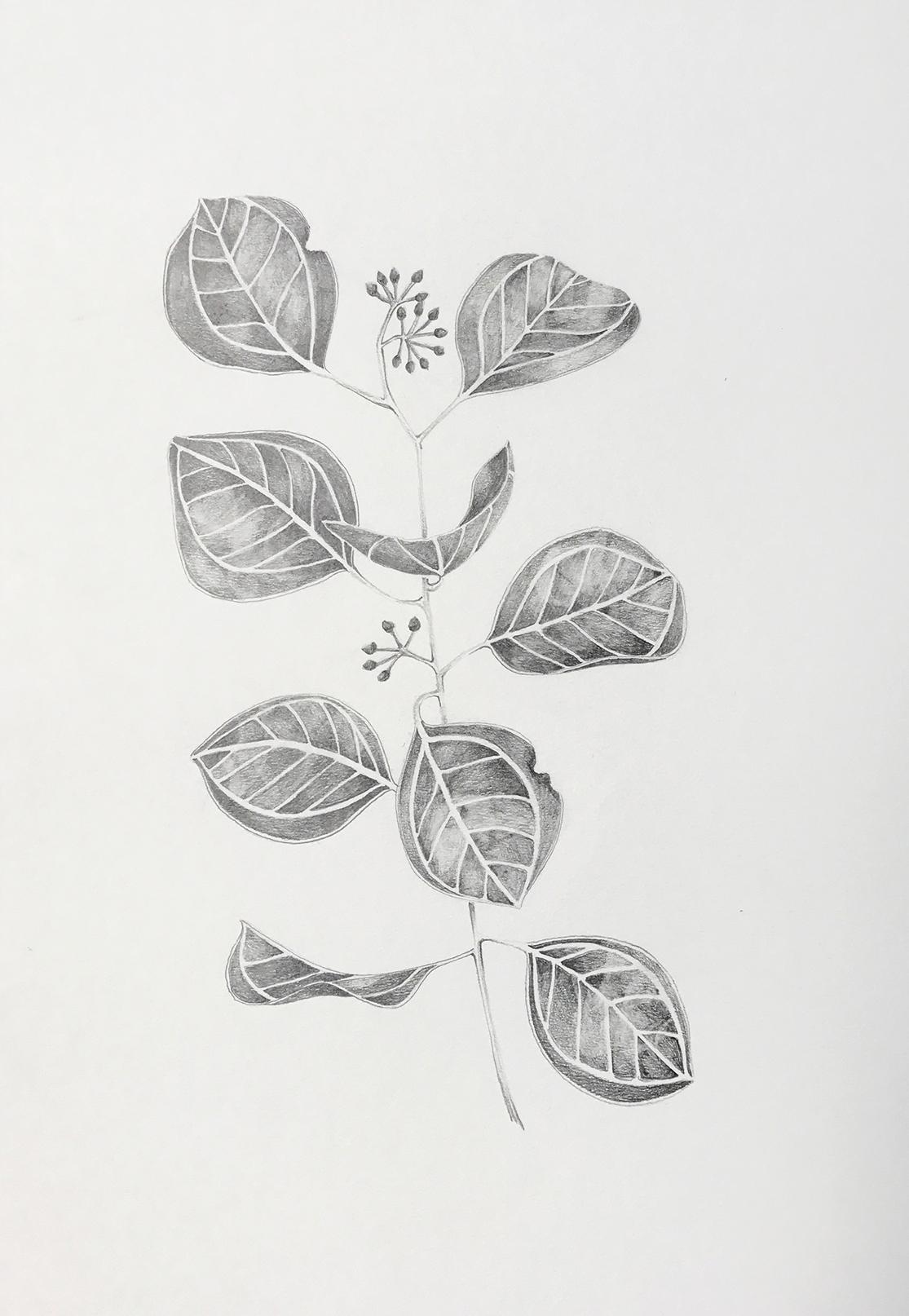 Silver Dollar Eucalyptus study