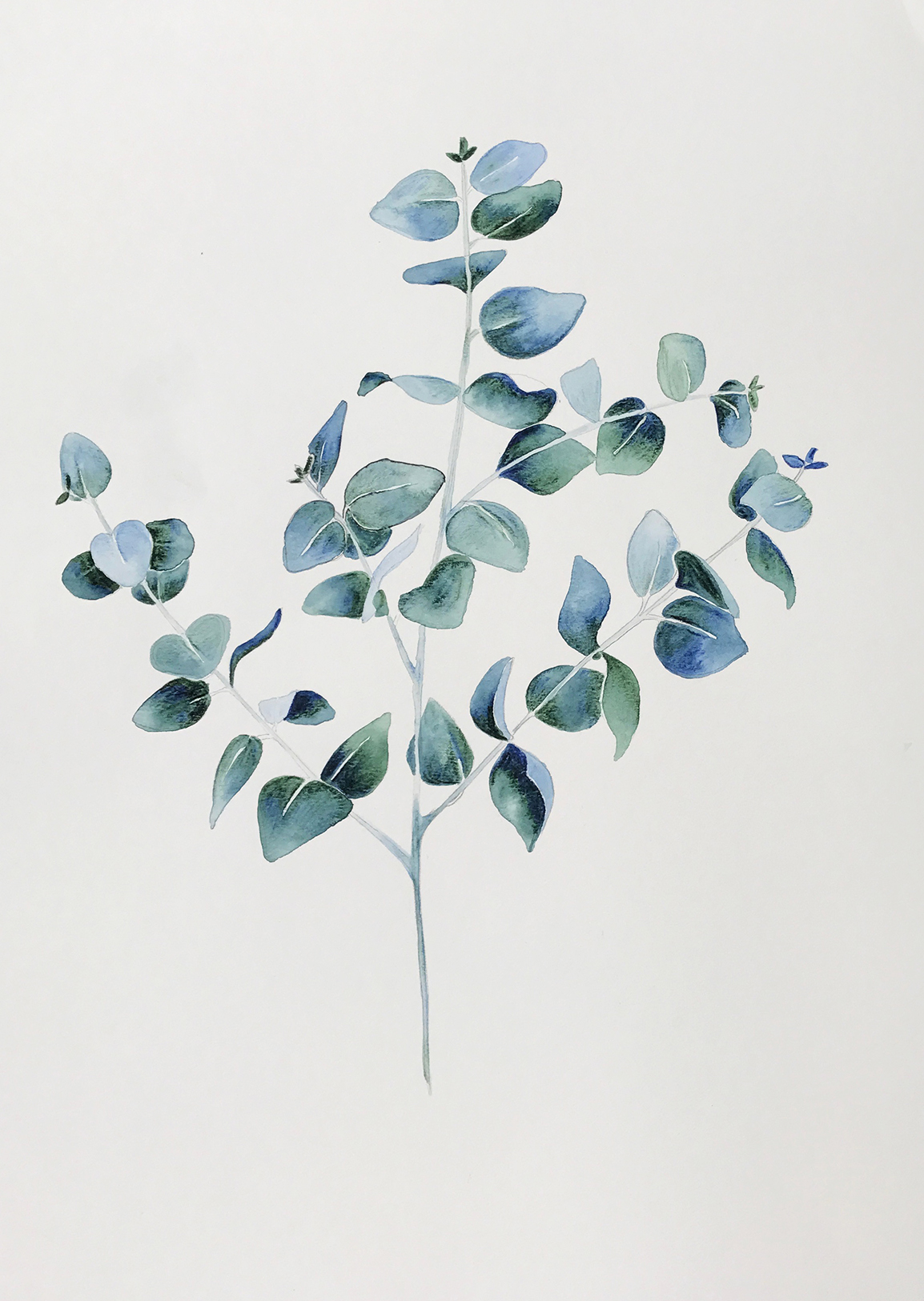 Silver Leaf Stringybark study