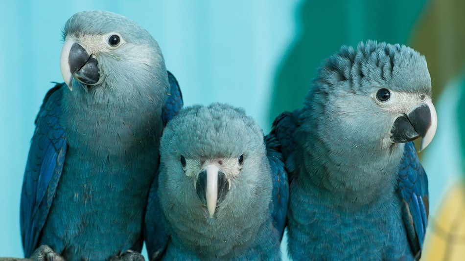 Spix's Macaw - extinct in the wild, only 50 of these creatures remain in captivity