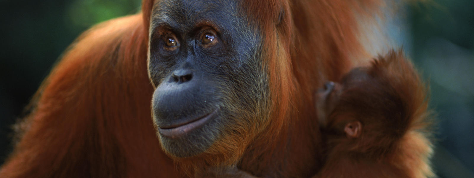 Sumatran Orangutans, their natural habitats are being destroyed by deforestation, often for palm oil production