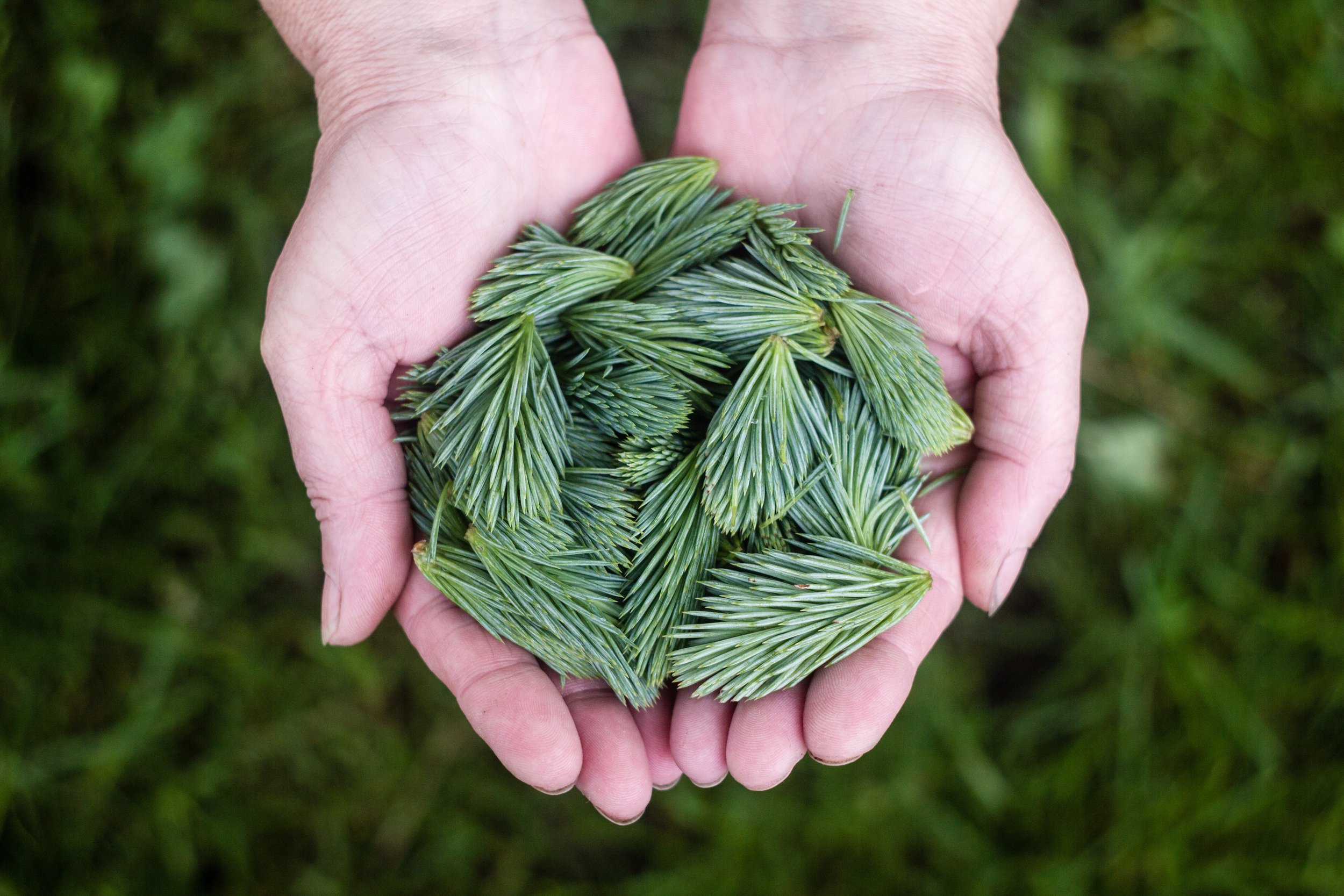 unsplash-com-photo-2919e13b_Hands with pine needles
