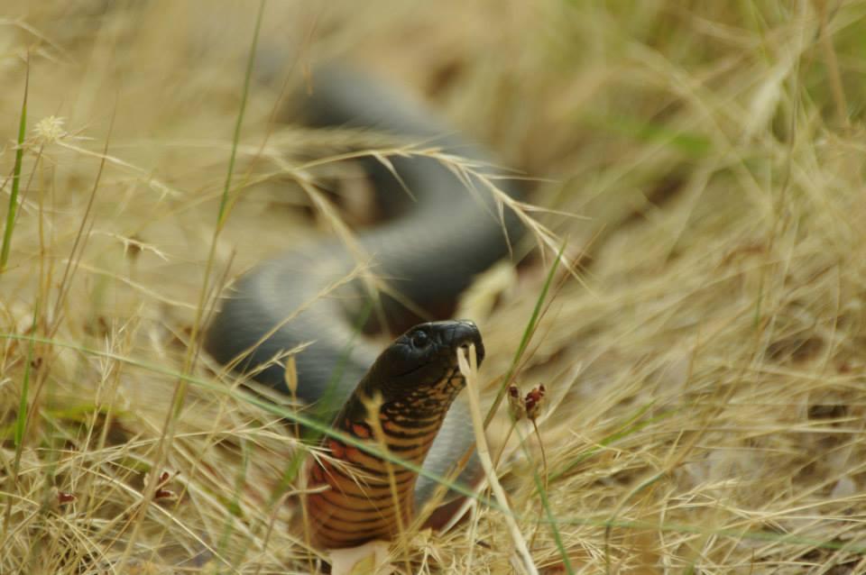 - Red-bellied Black Snake