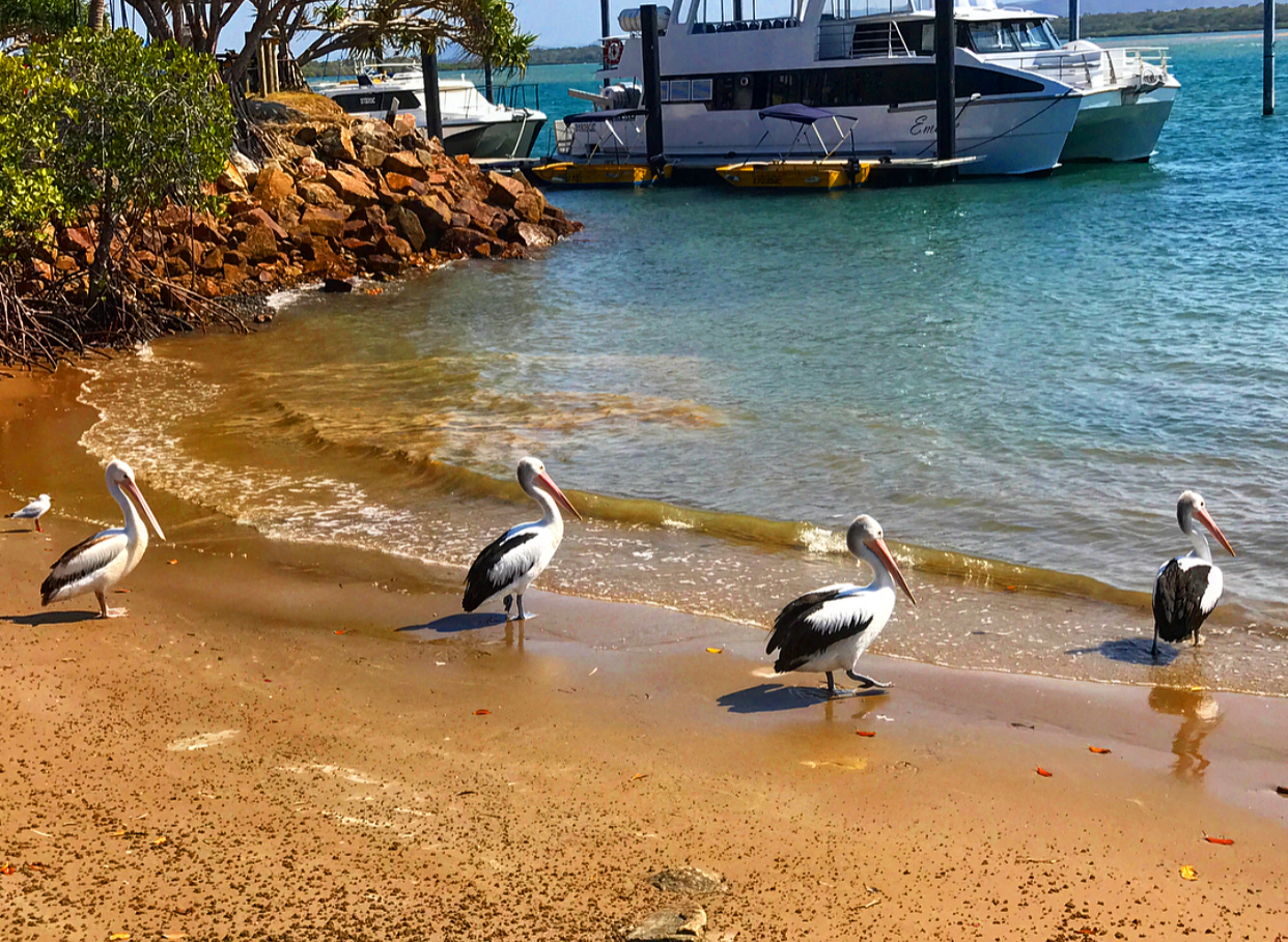 A few pesky pelicans at the town of 1770.