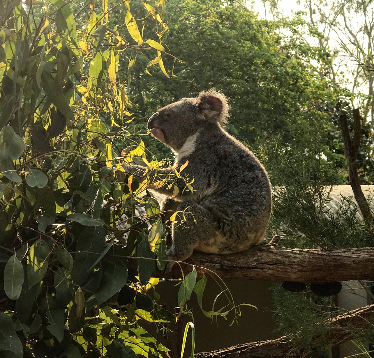 A cheeky koala munching on some leaves at Rockhampton zoo.