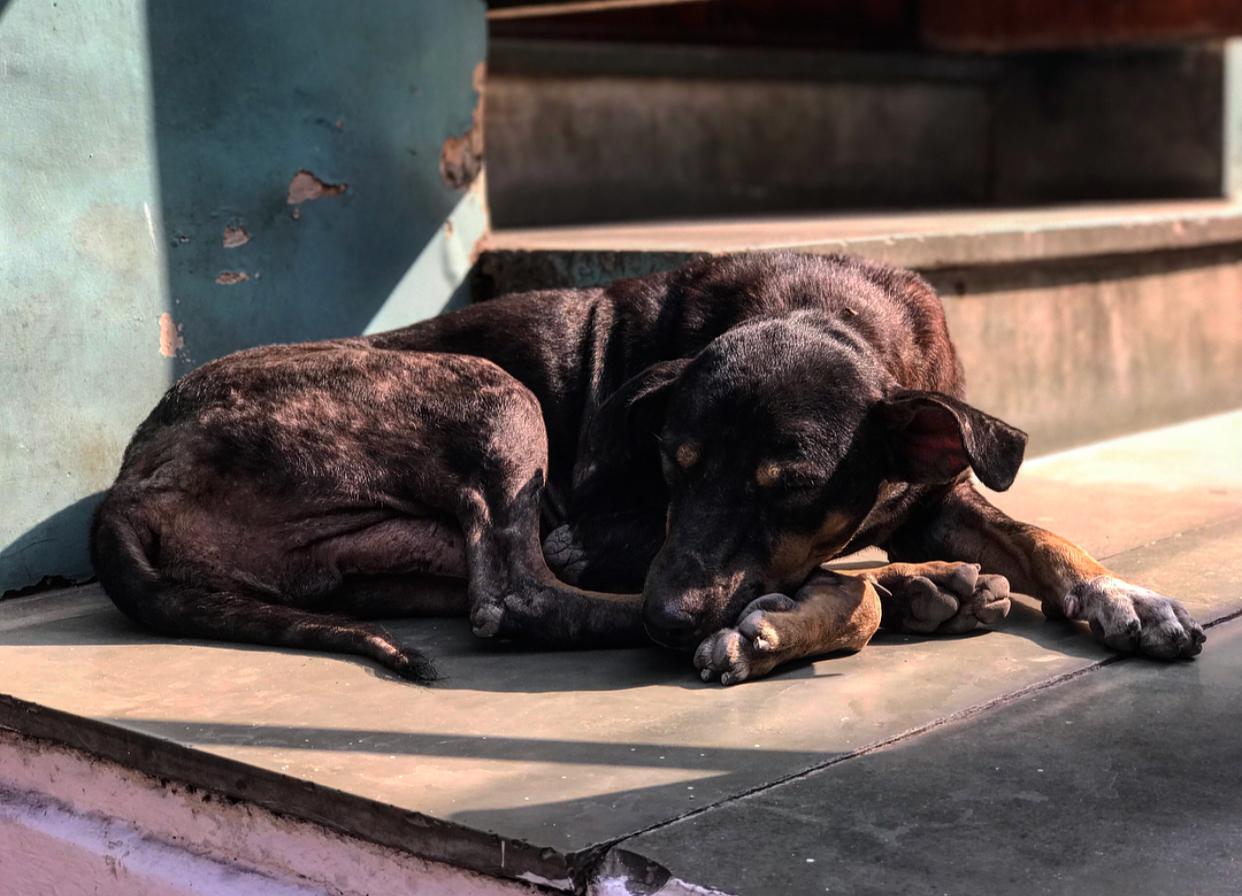 Street dogs of Delhi.