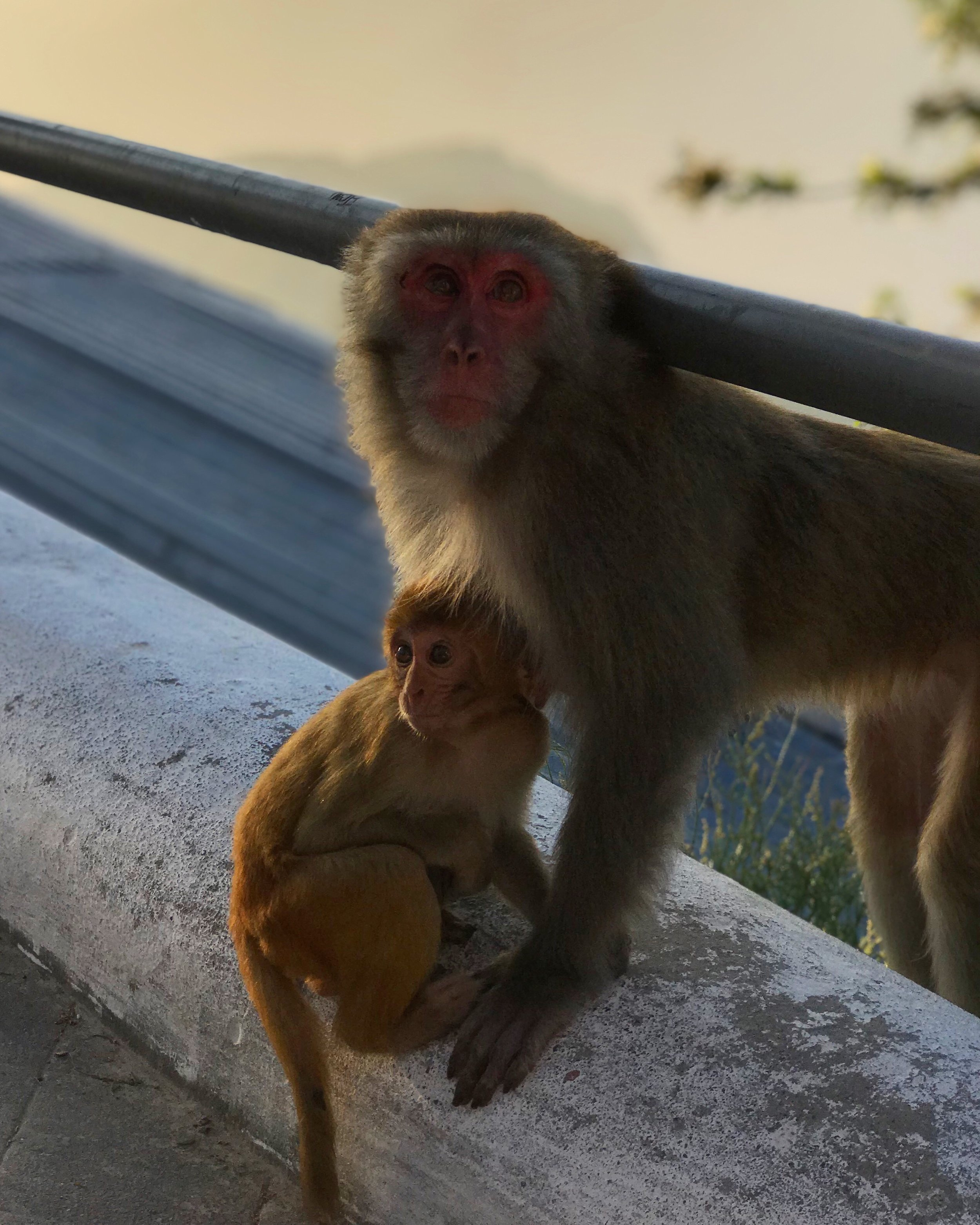 Mother and baby monkeys of the temple.