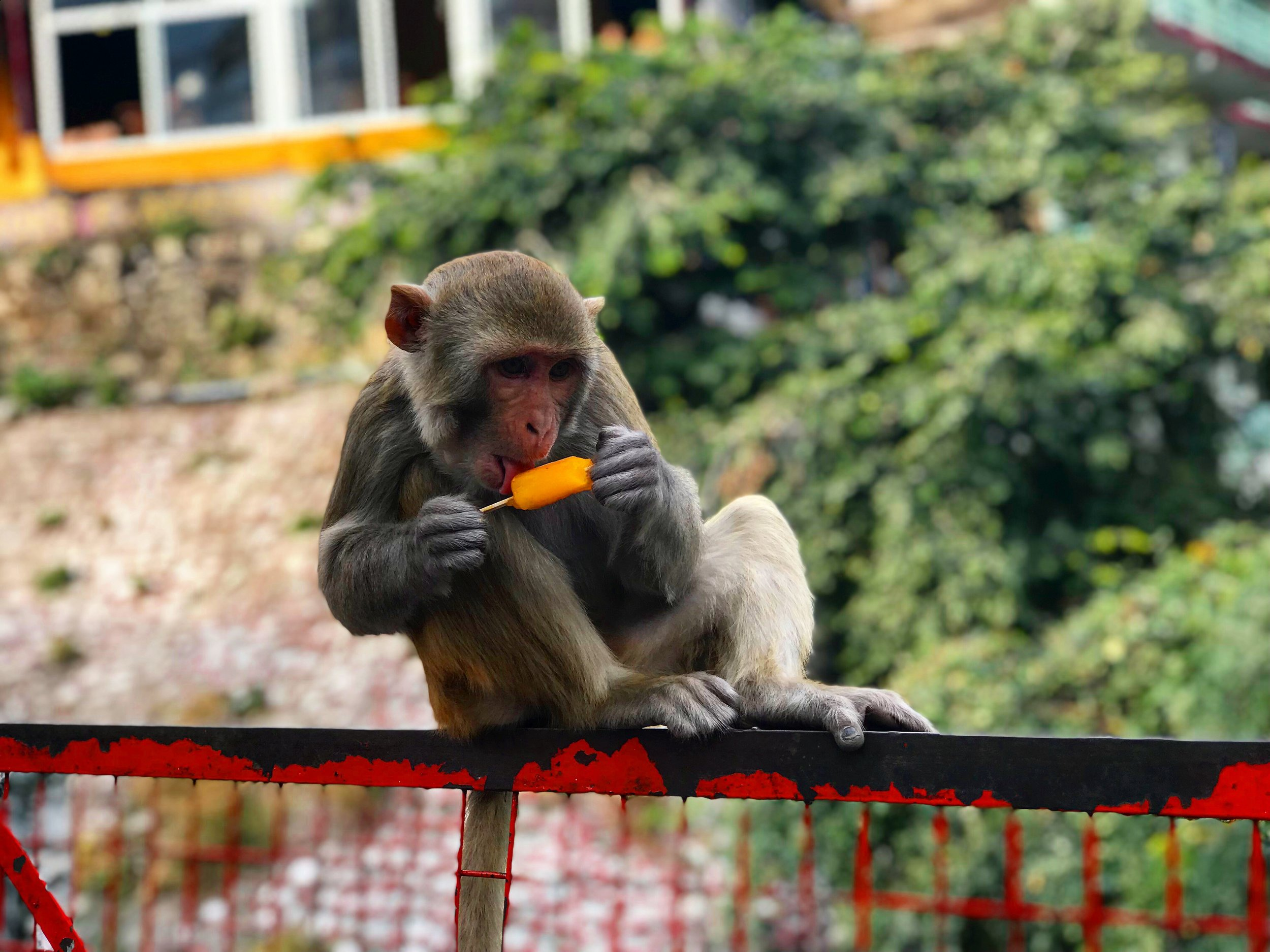 Just a monkey eating a (presumably) stolen ice-lolly.