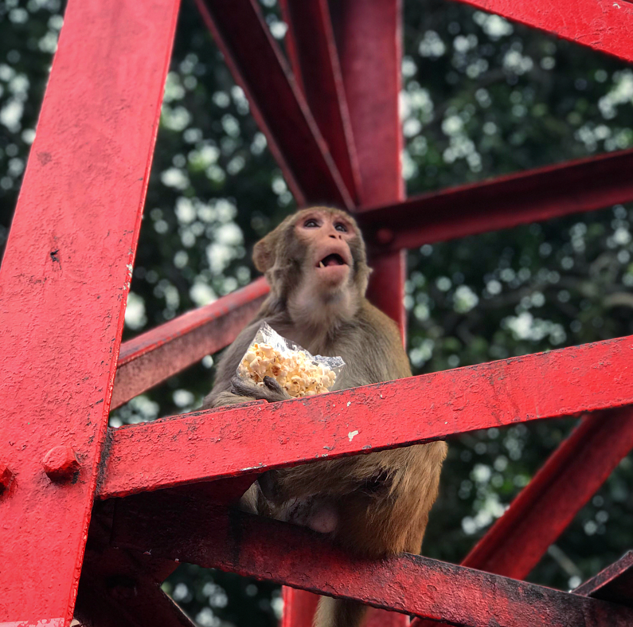 The cheeky monkeys often steal food (such as popcorn) from the street vendors.