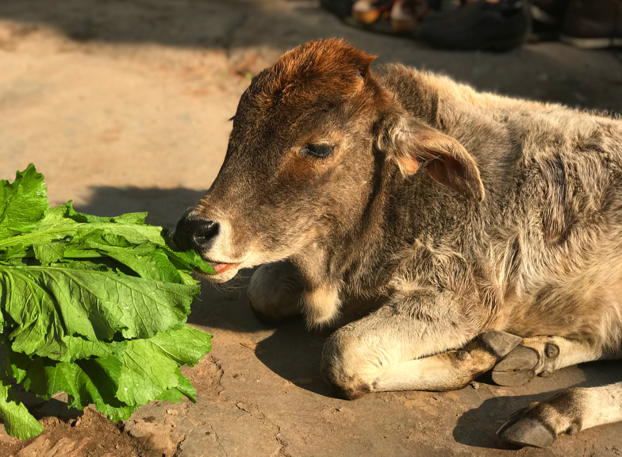 We both fell in love with the street cows and would try and feed them whenever possible.