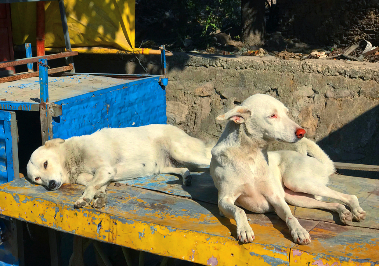 Mother and daughter street dogs relaxing together.