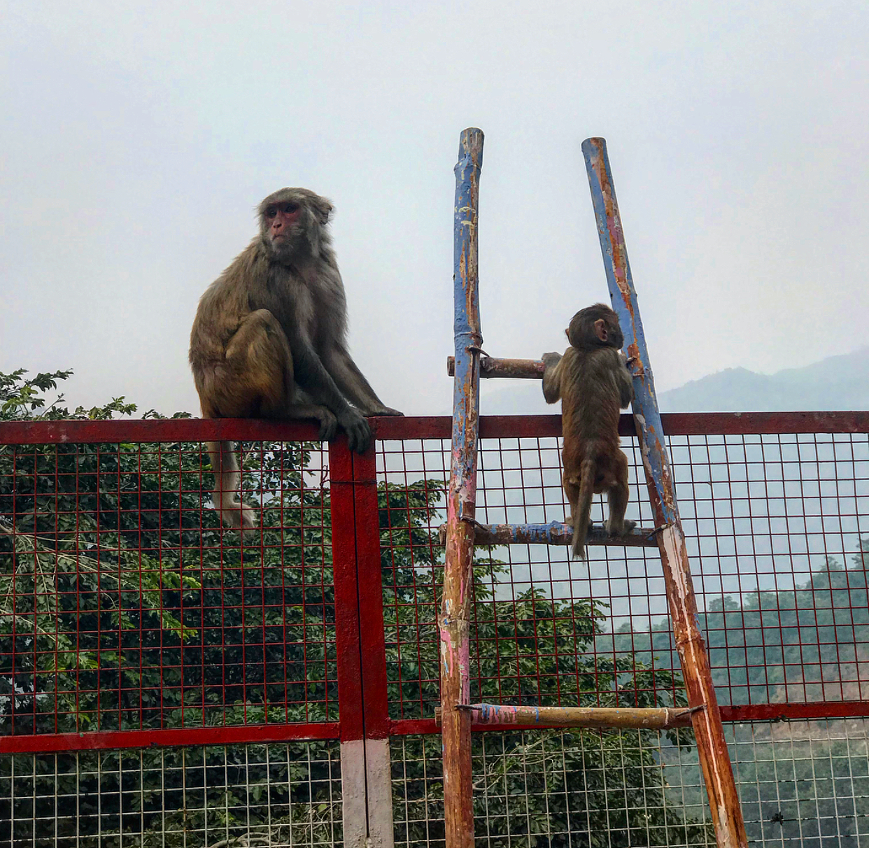 I love this adorable baby monkey climbing up the ladder to his mummy.