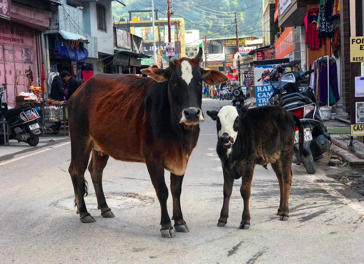 Street cows of India.