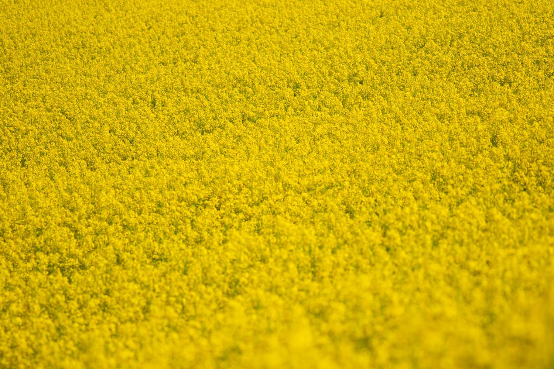 Rapeseed Field LR (3 of 3).jpg