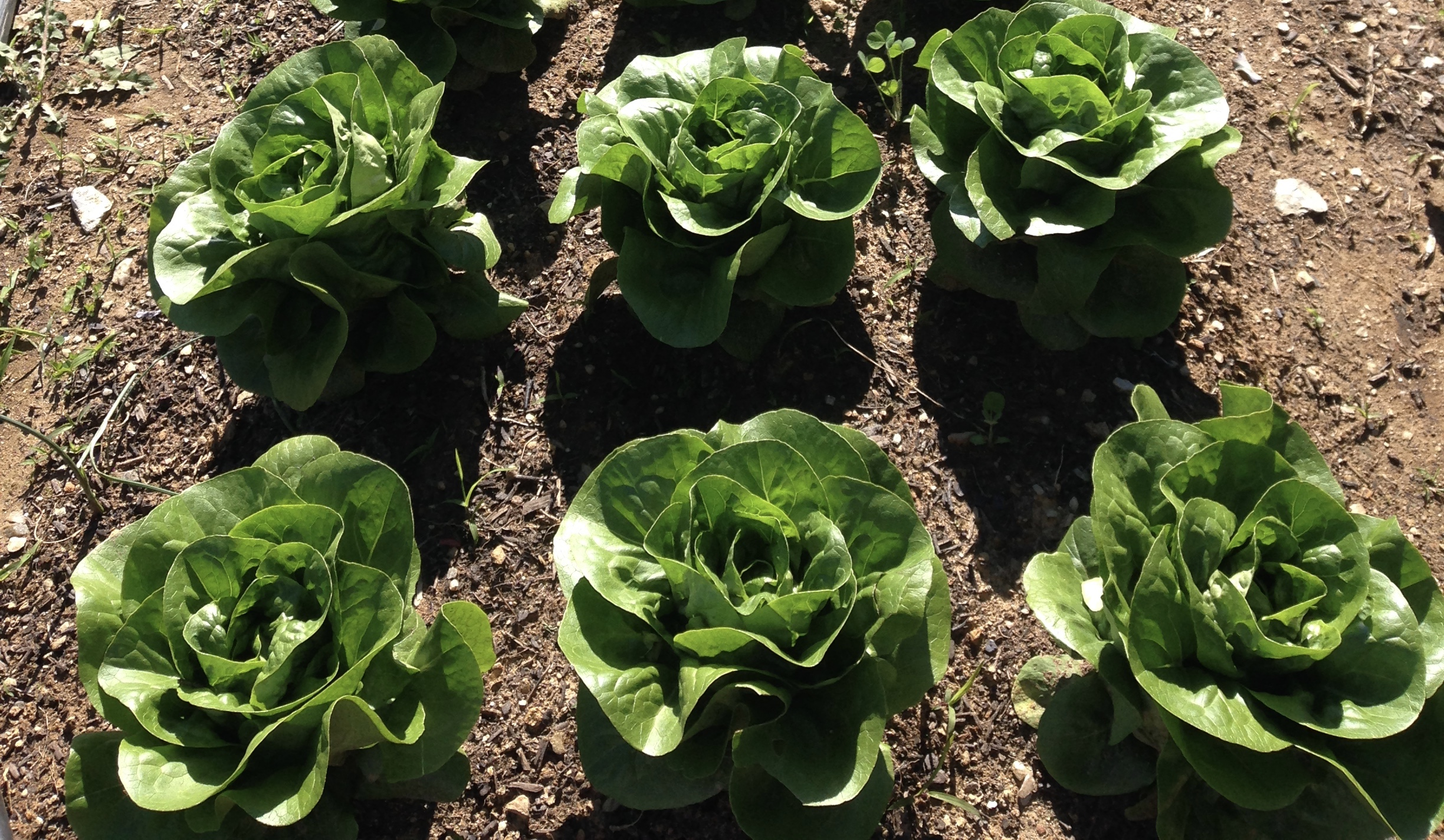 Beautiful little gems of butter lettuce. If you are a salad skeptic (I was), try some home grown. It's a game changer.