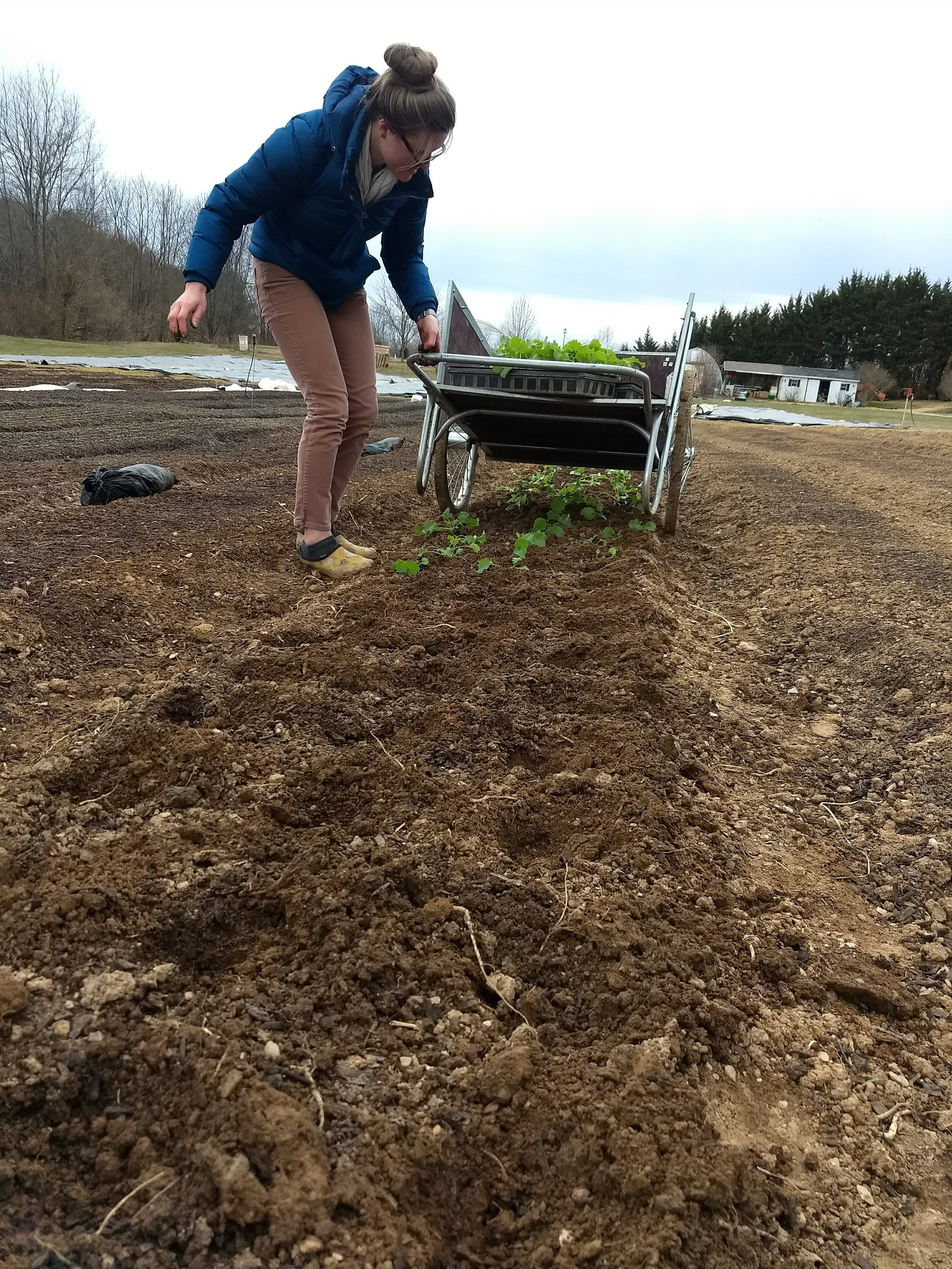 Transplanting baby kale with Philip early, early spring. We expected too much of them — the lingering cold and blistering winds proved too much for them. :(