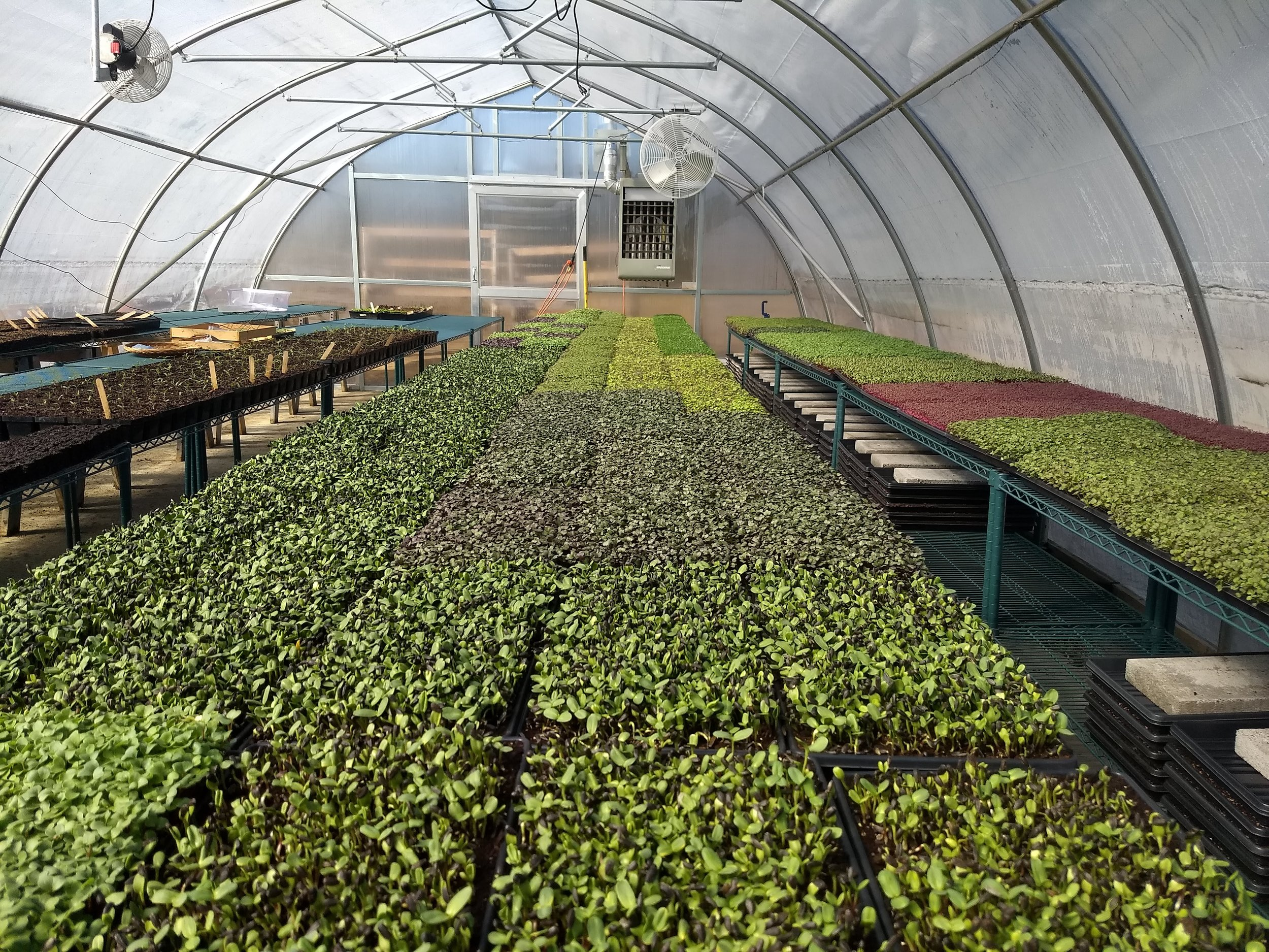 One of our larger greenhouses that we now use for seedlings and micros.