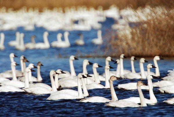 tundra swan.jpg