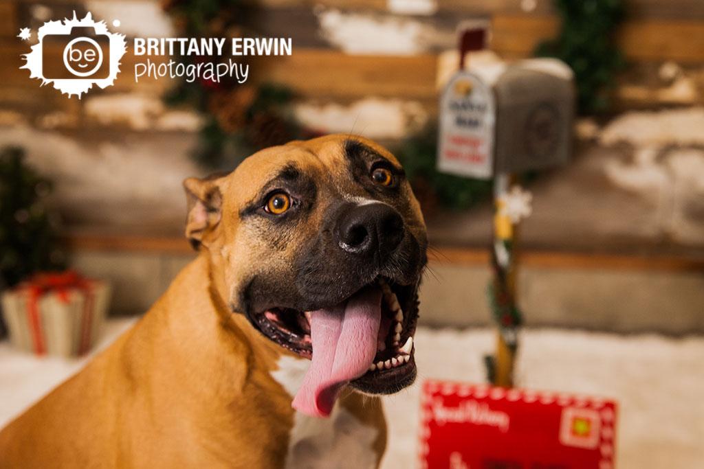 Speedway-Indiana-boxer-studio-dog-pet-photographer-christmas-mini-session.jpg